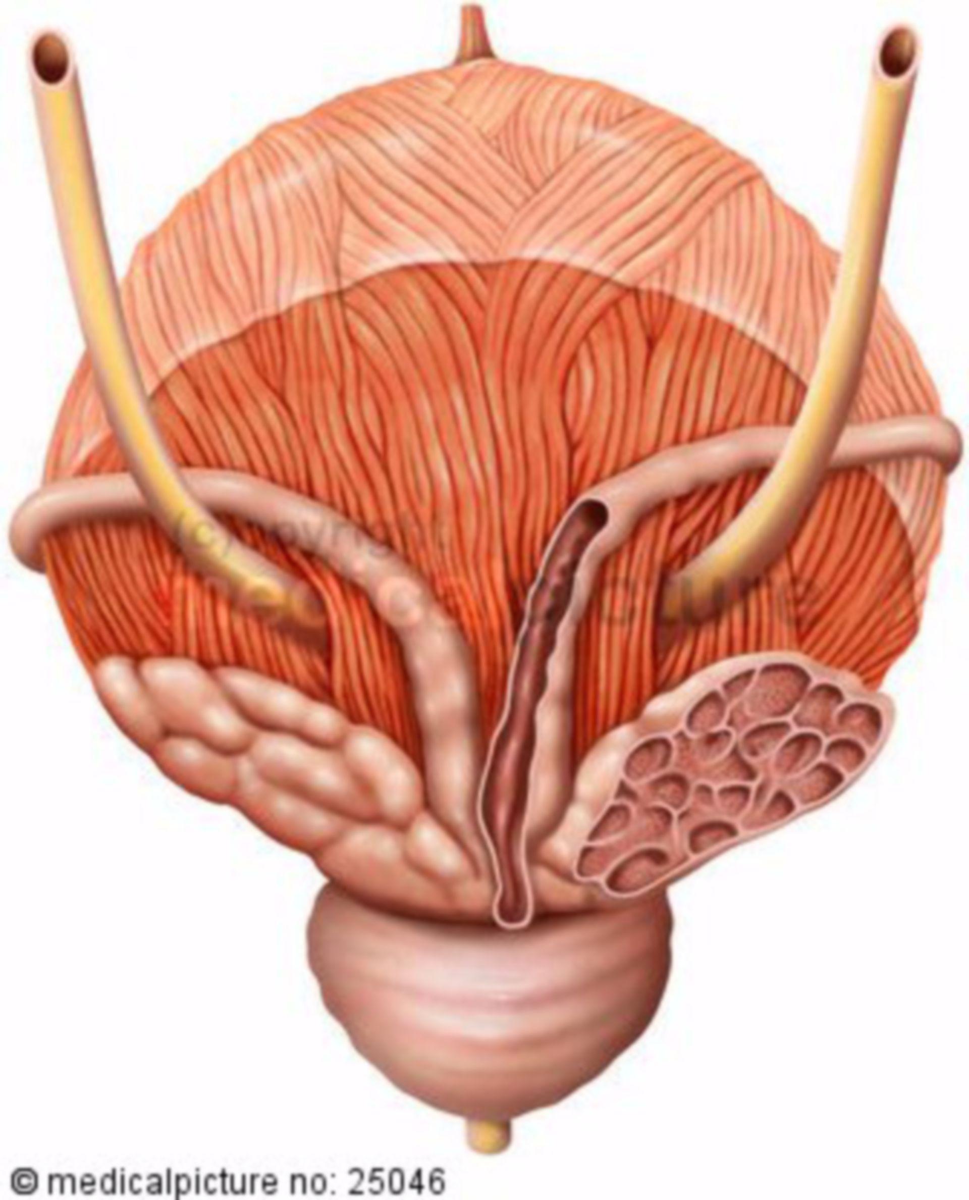 Vista posteriore, della vescica urinaria maschile con sezione dei genitali interni dopo rimozione del retto