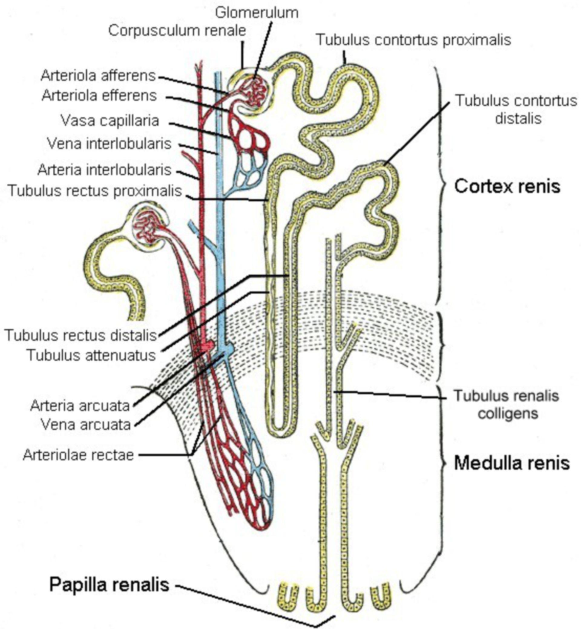 Aufbau der Niere