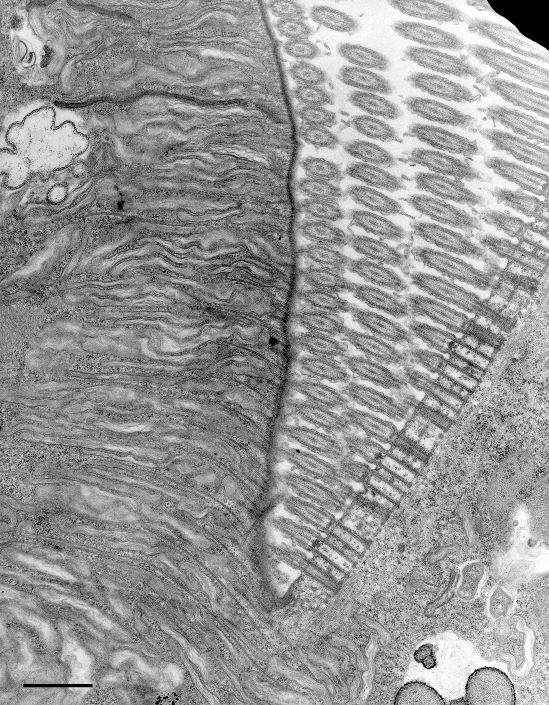 Euplotes sp. (Cortical cytoskeleton) - CIL:12341