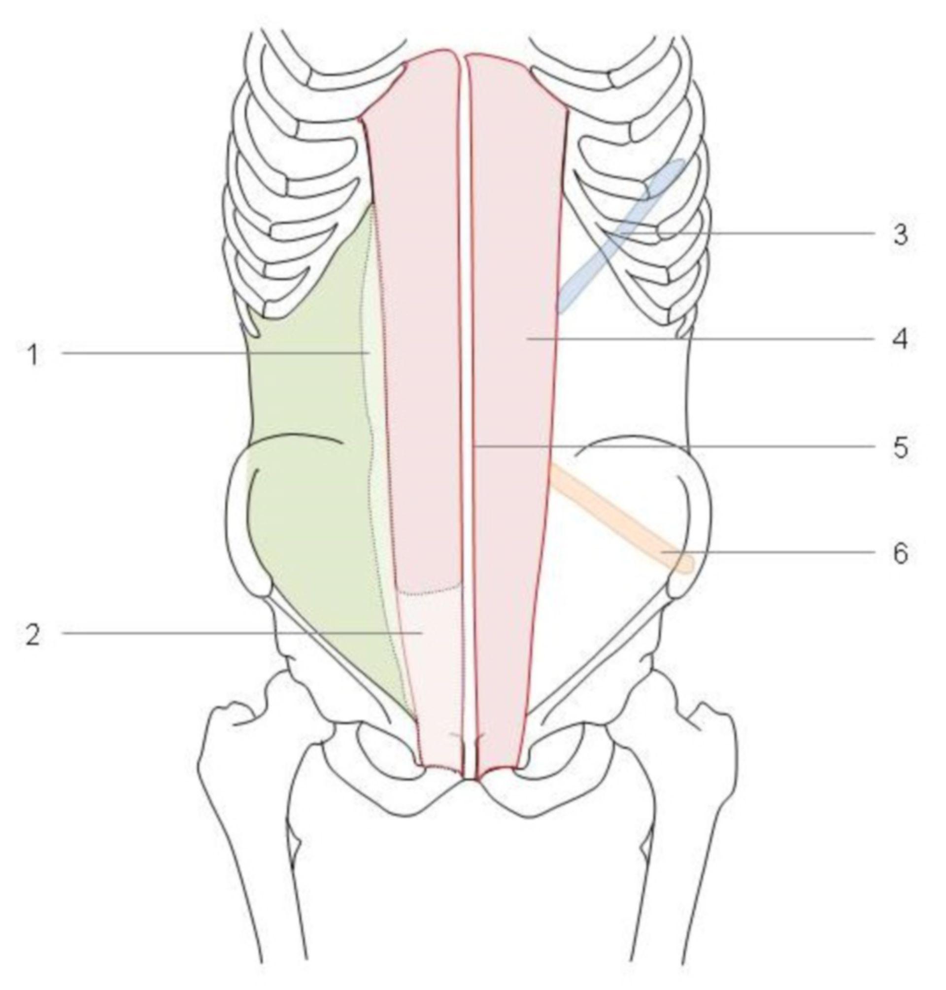 Linea semilunaris