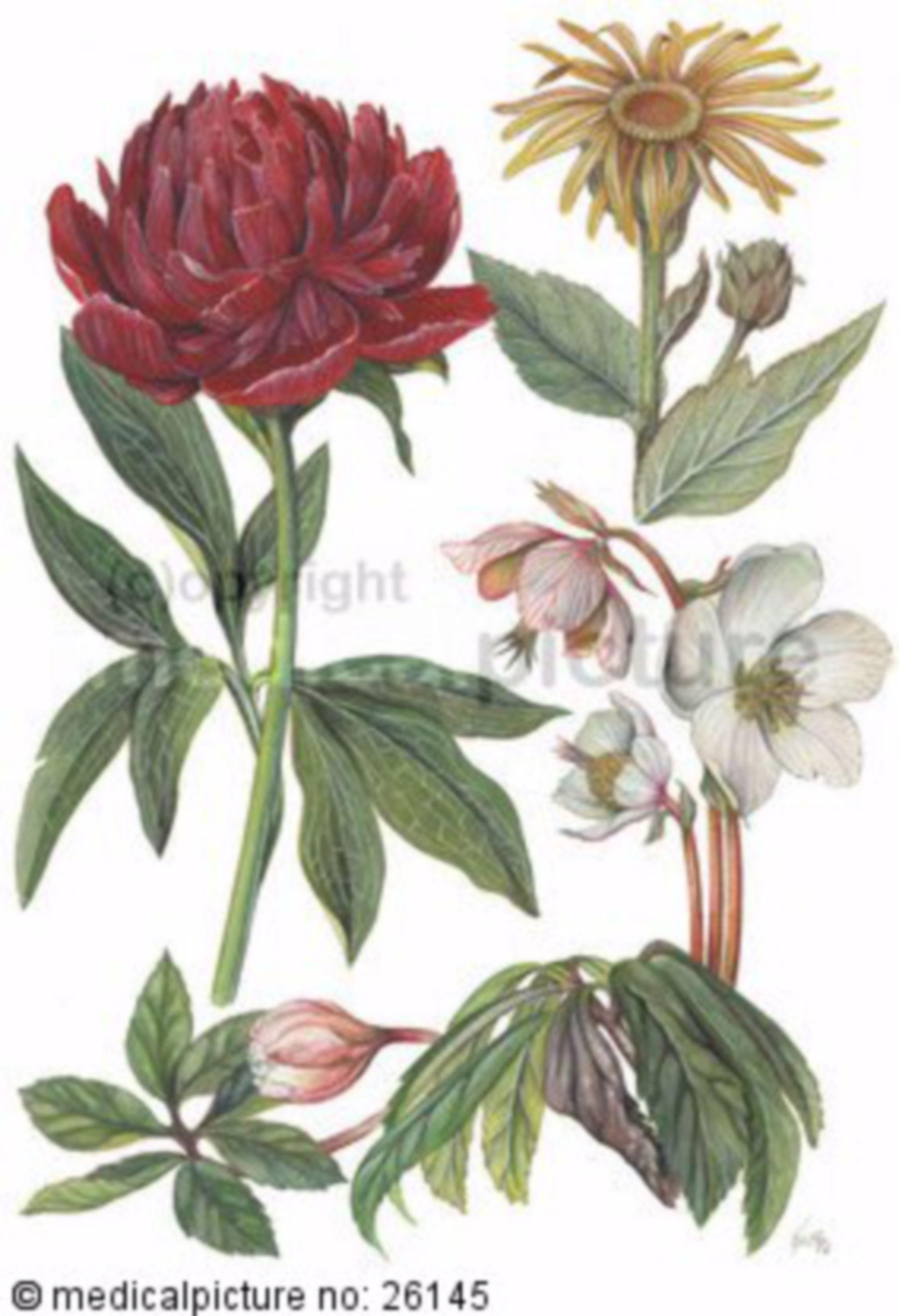 Pfingstrose, Alant, Christrose, peony, Christmas rose, elecampane