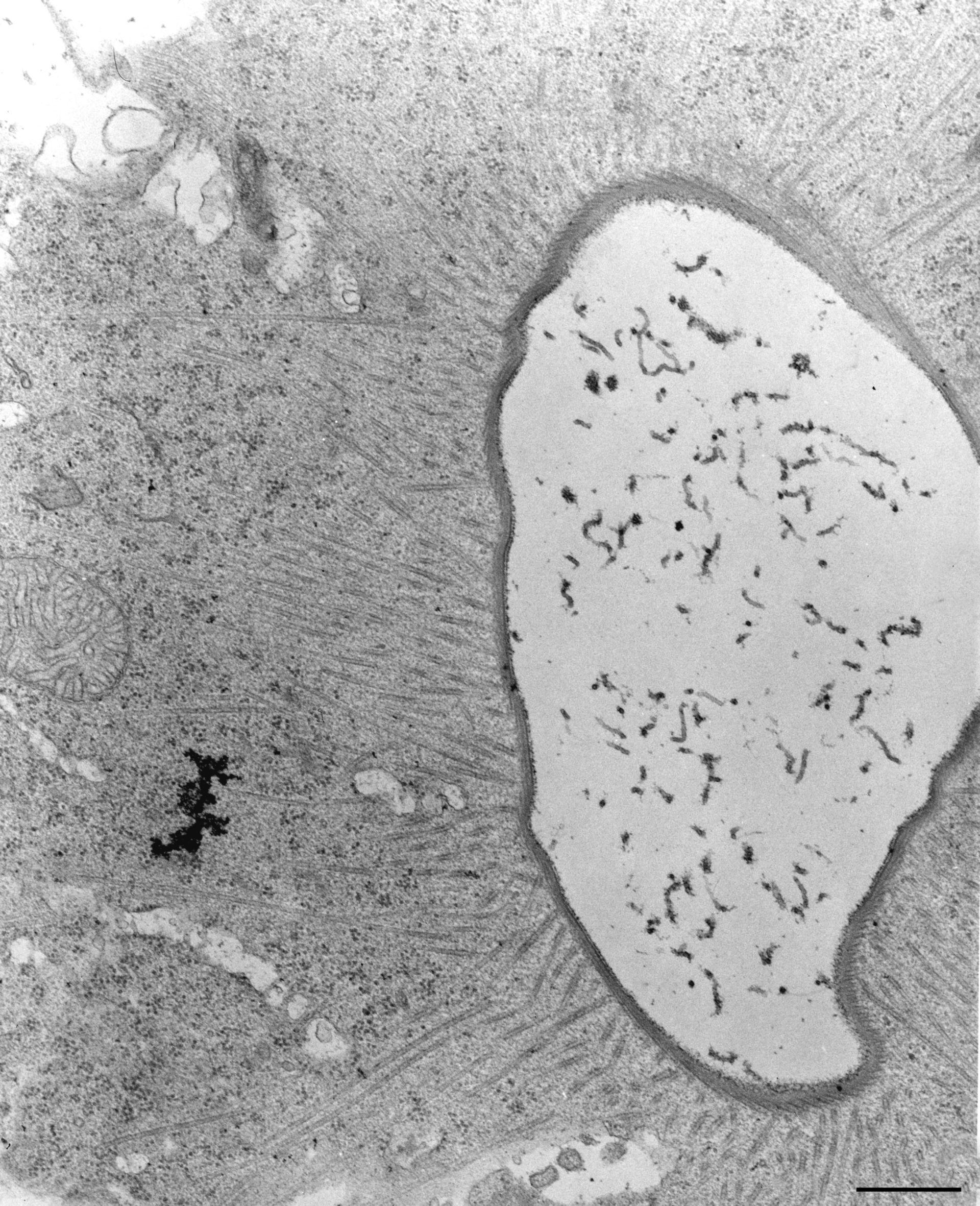Nassula (Cytoplasm) - CIL:12313