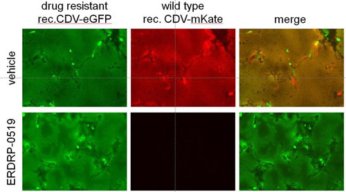 Zellen, die mit einem resistenten (grüne Fluoreszenz) oder einem Wildtyp (rote Fluoreszenz) Staupevirus infiziert wurden. Infizierte Zellen wurden mit ERDRP-0519 oder Puffer behand Georgia State University