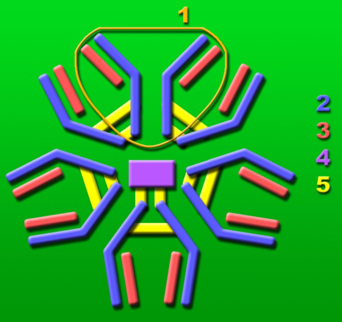 Immunglobulin M