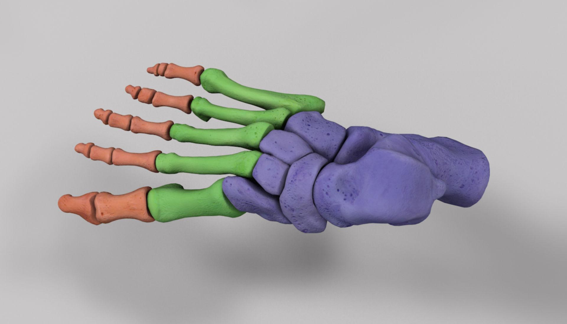 Anatomie des Fußskeletts