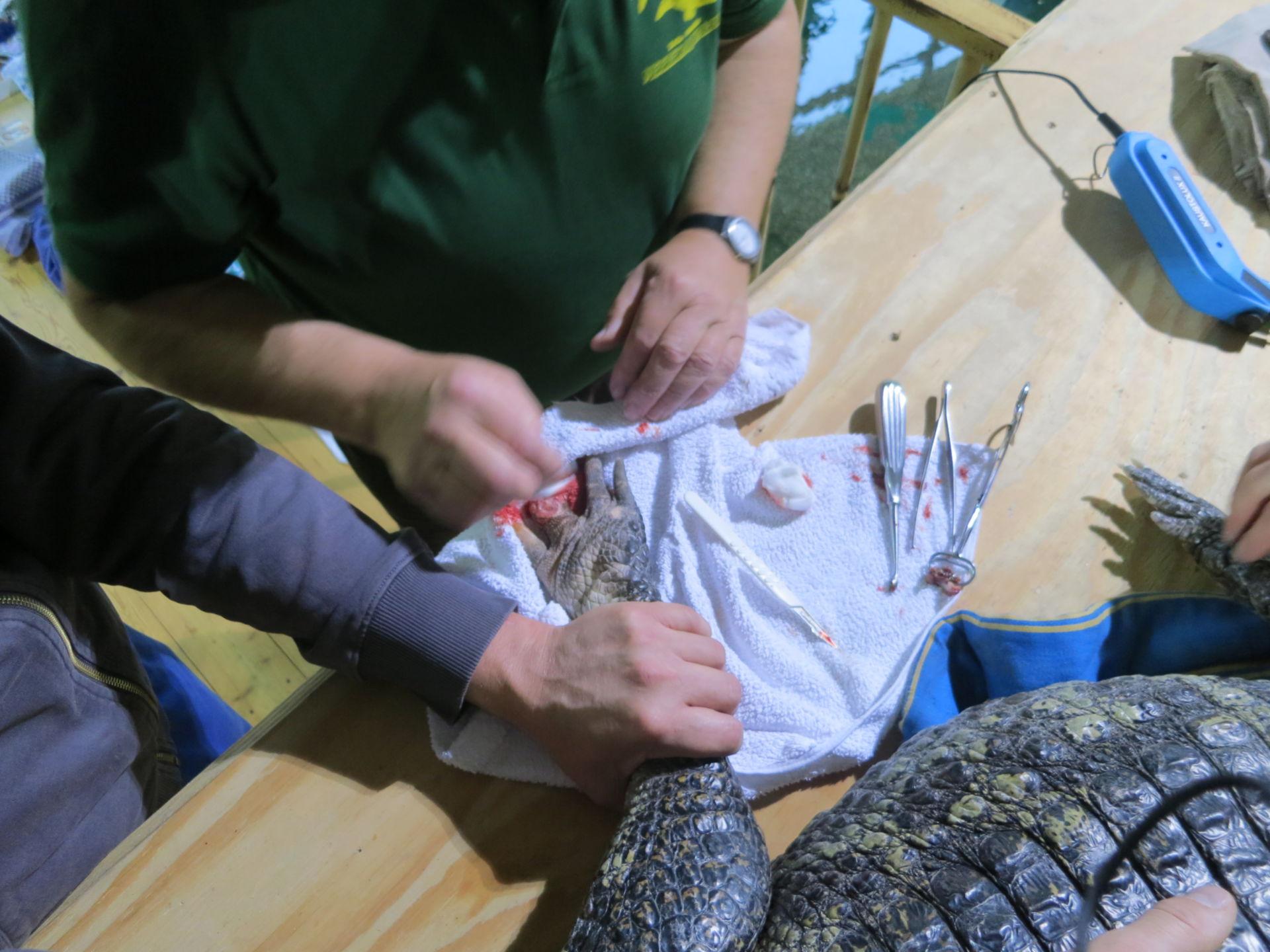 Yacare caiman, granuloma distal phalanx