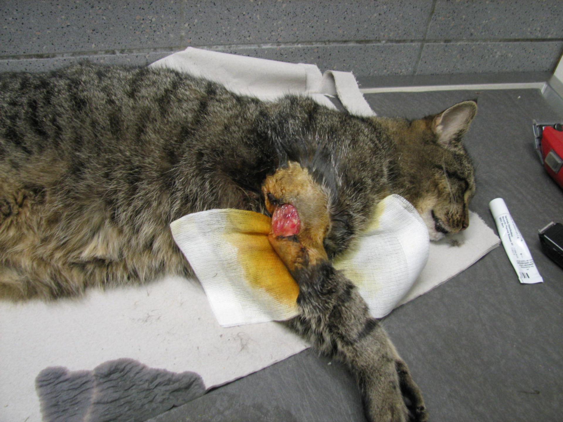 Halsbandverletzung Katze