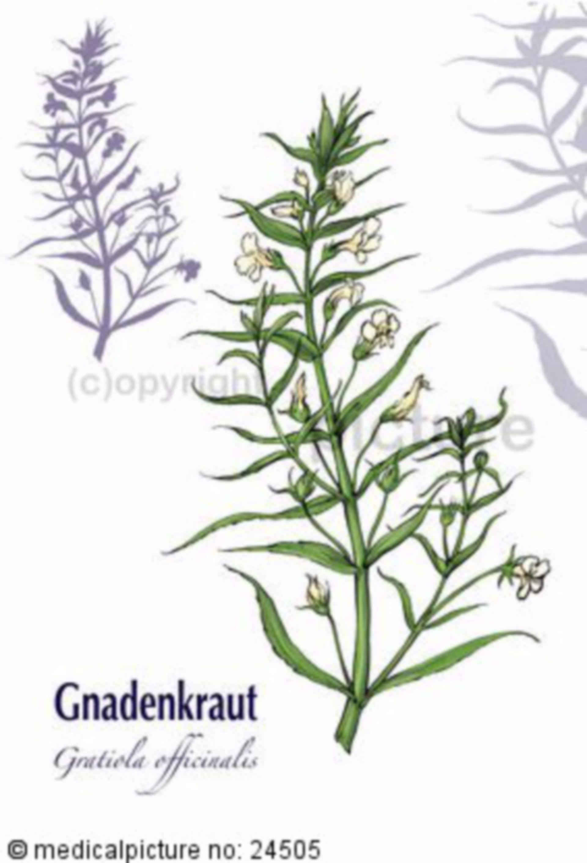 Gnadenkraut, Gratiola officinalis