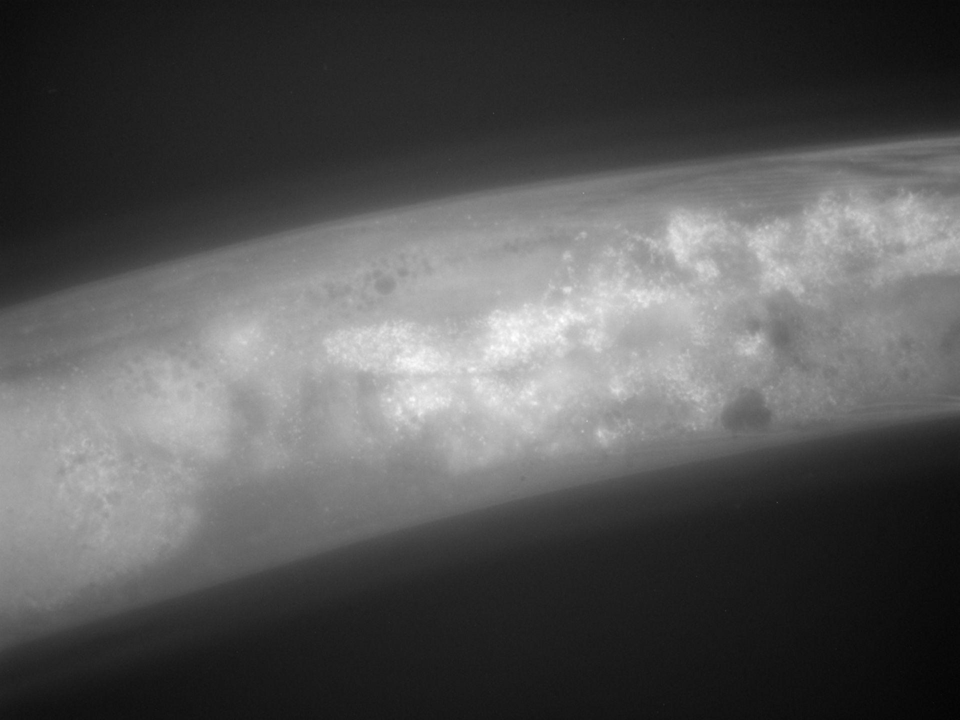 Caenorhabditis elegans (Actin filament) - CIL:1299