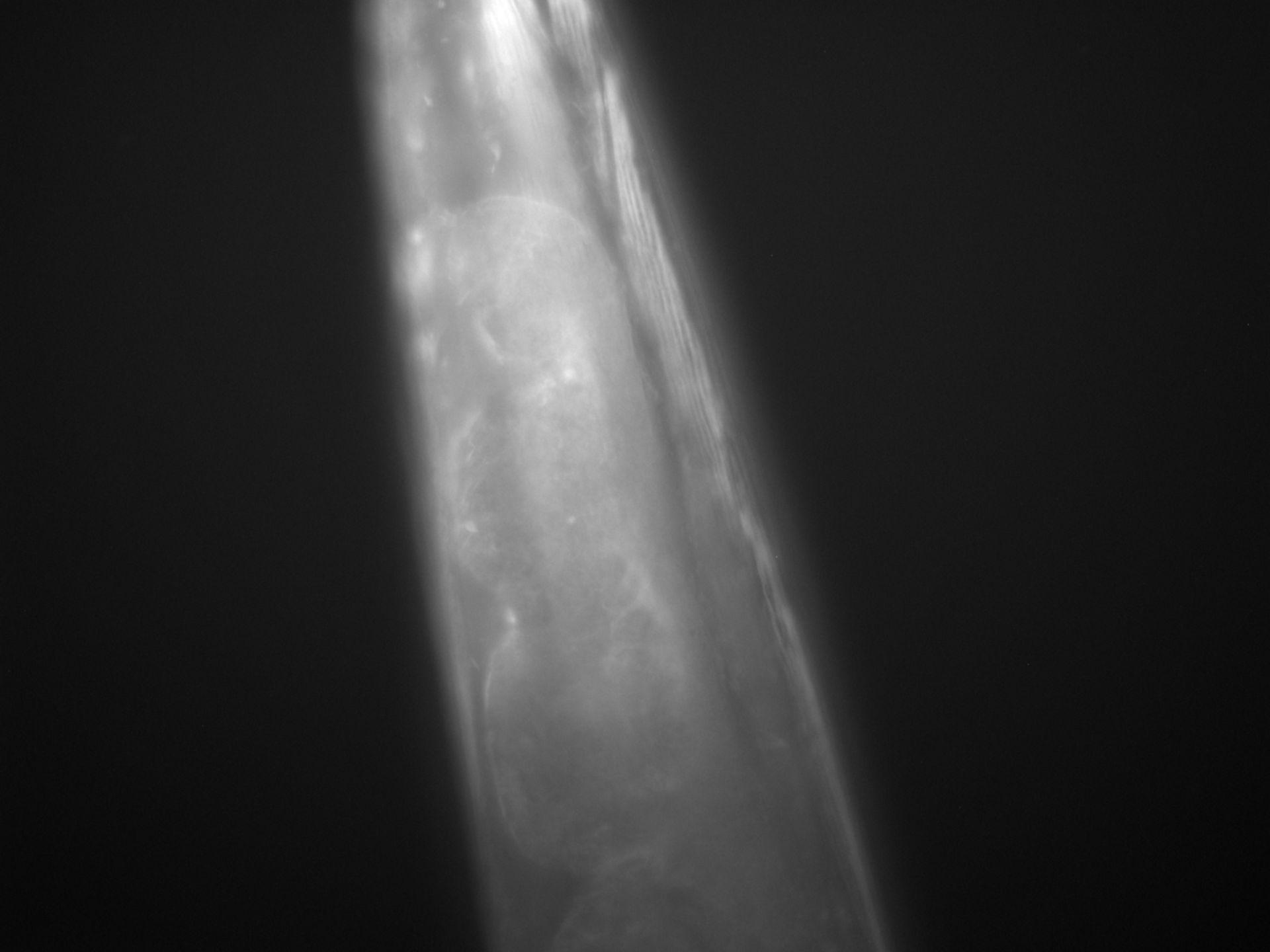 Caenorhabditis elegans (Actin filament) - CIL:1267