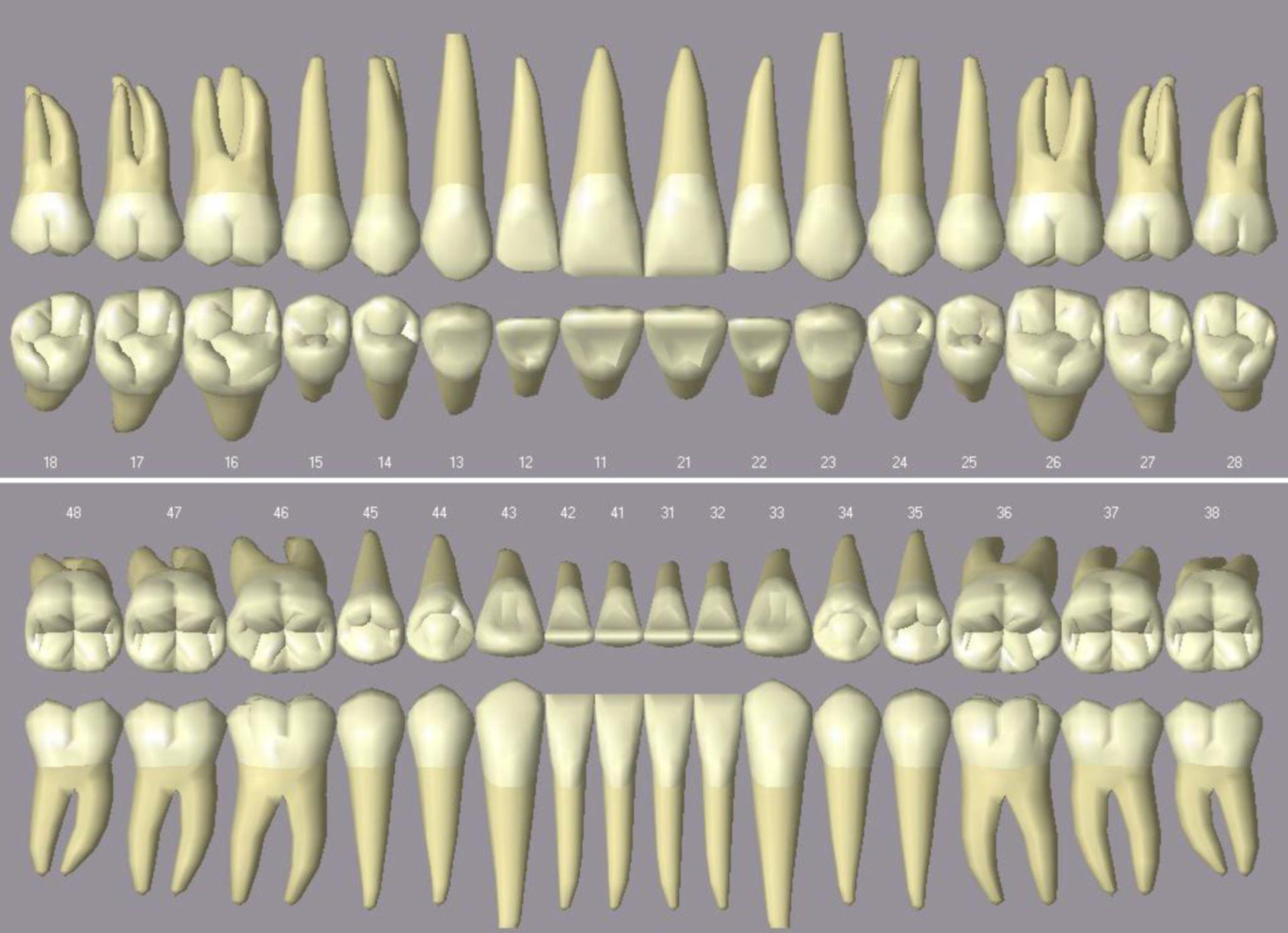 Denti umani (ricostruzione computerizzata)