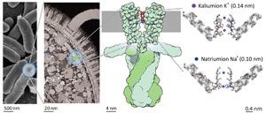 Die schematische Abbildung ganz rechts zeigt die in der Studie gefundenen Änderungen in Stärke und Richtung der Schwingungskopplung innerhalb des Filters, die abhängig von der Ionenart sind. © David S. Goodsell & RCSB Protein Data Bank