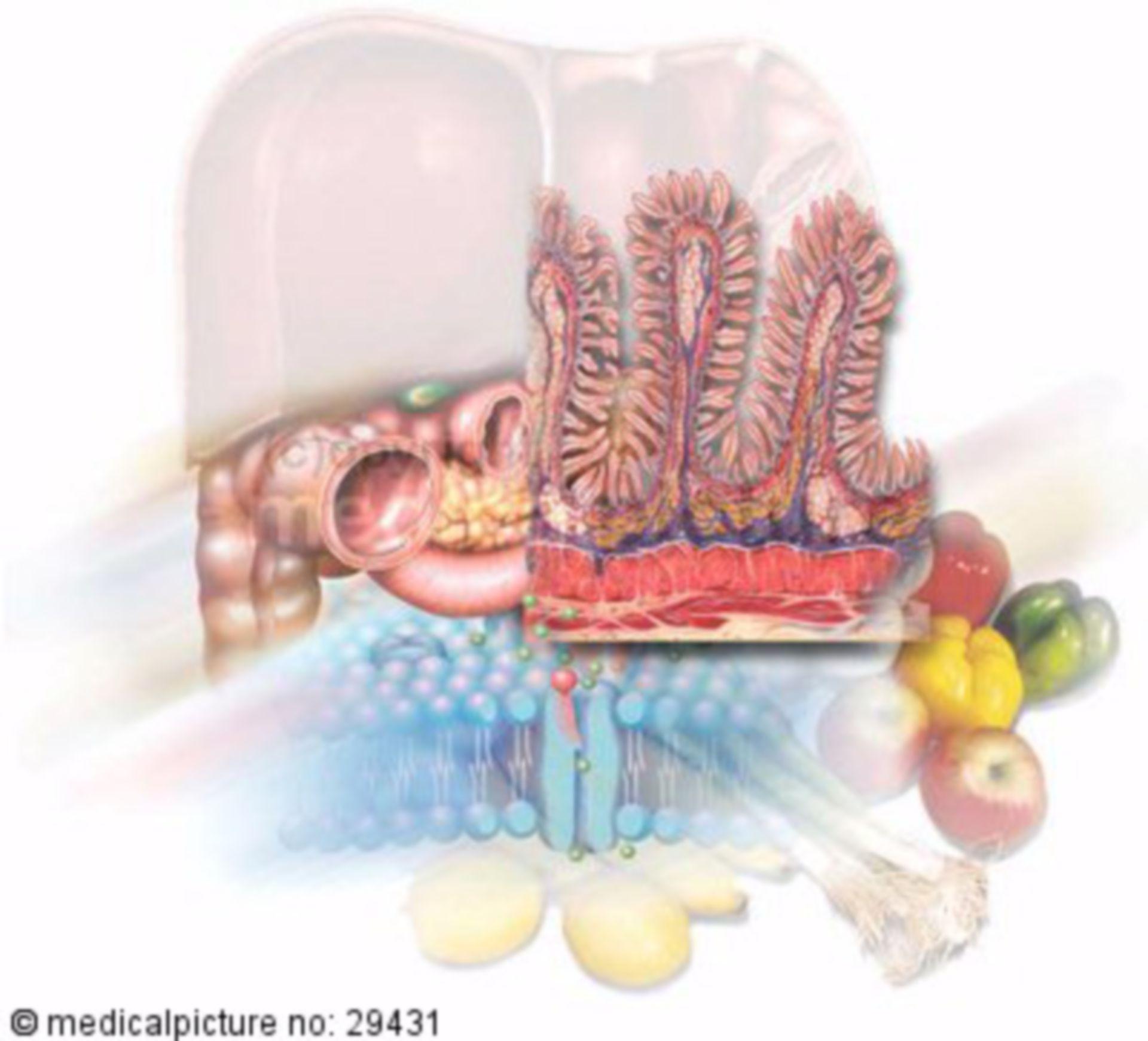 Alimentary Organs