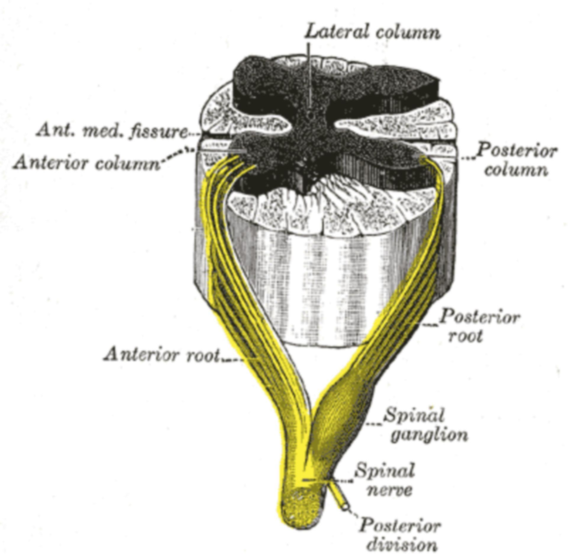 Fig. 675 - Spinalnerv mit Vorder- und Hinterwurzel