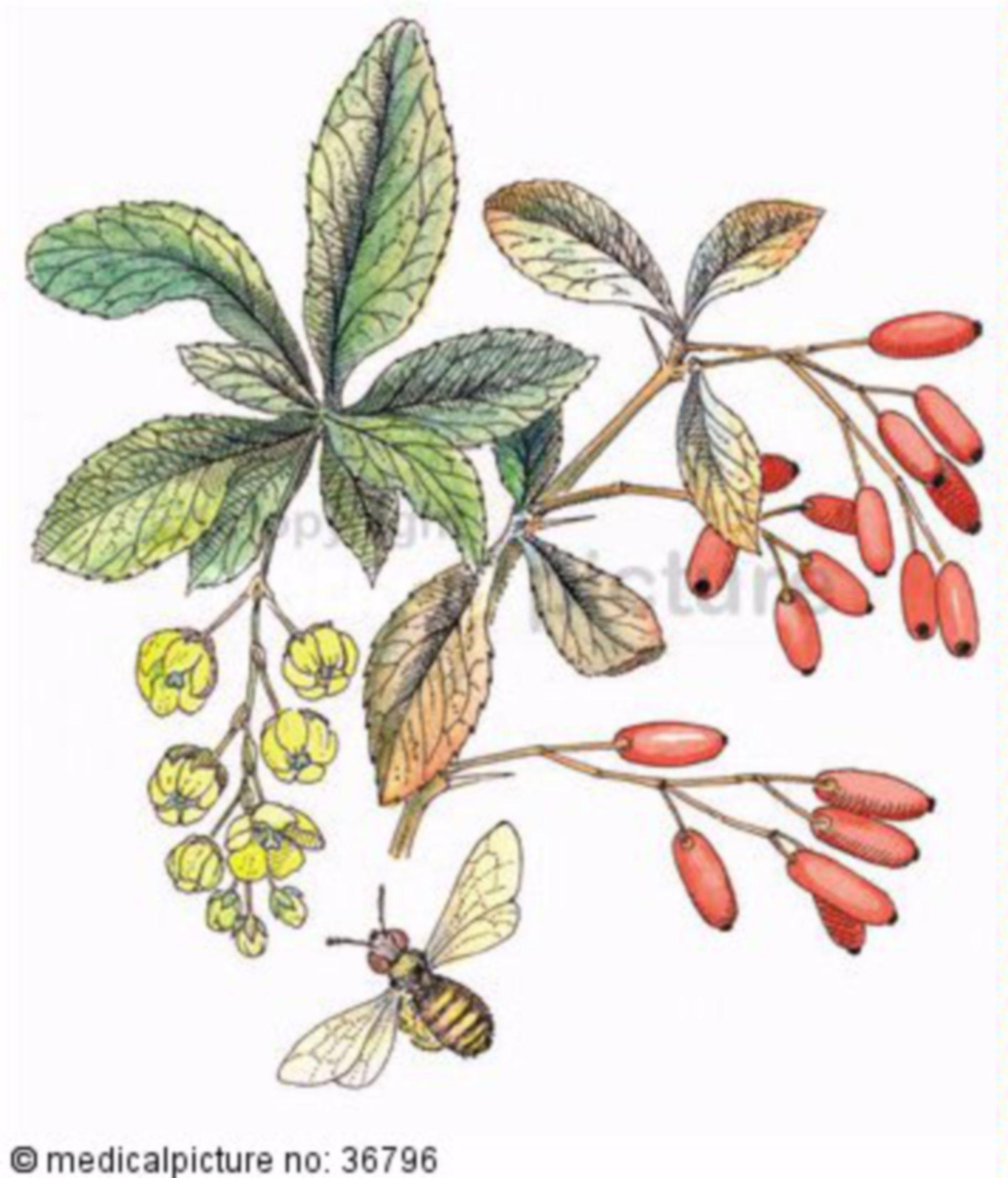Strauch, Berberis vulgaris, Berberitze