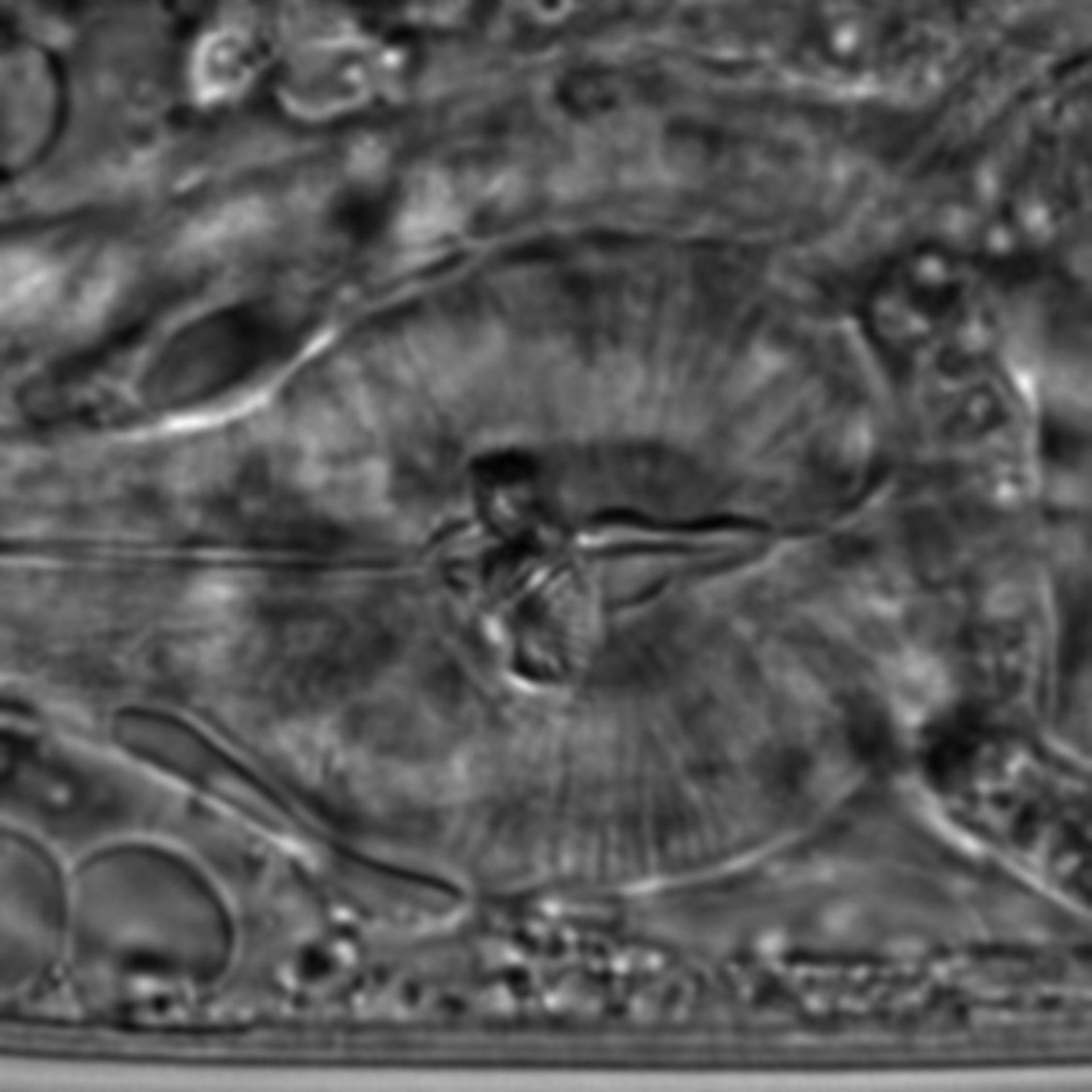 Caenorhabditis elegans - CIL:1588