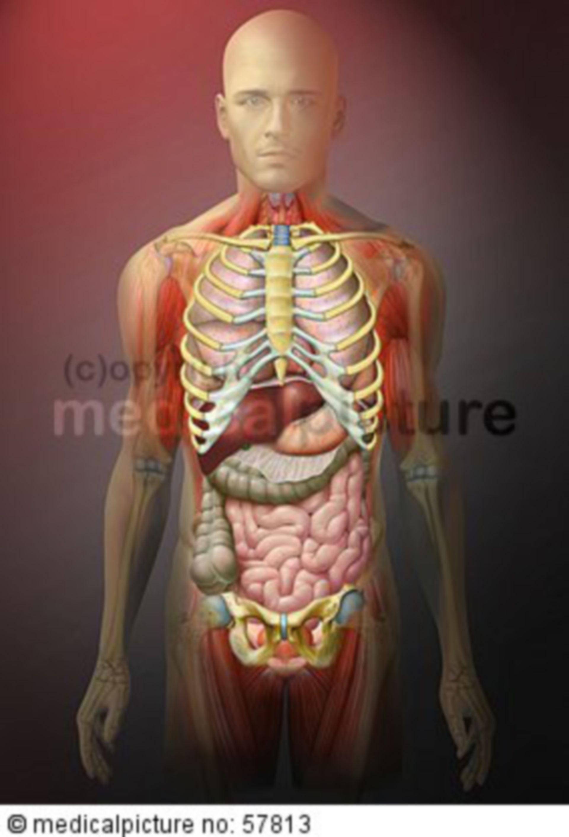 Anatomische Illustrationen - Brust-, Bauch-, Beckeneingeweide mit Brustkorb