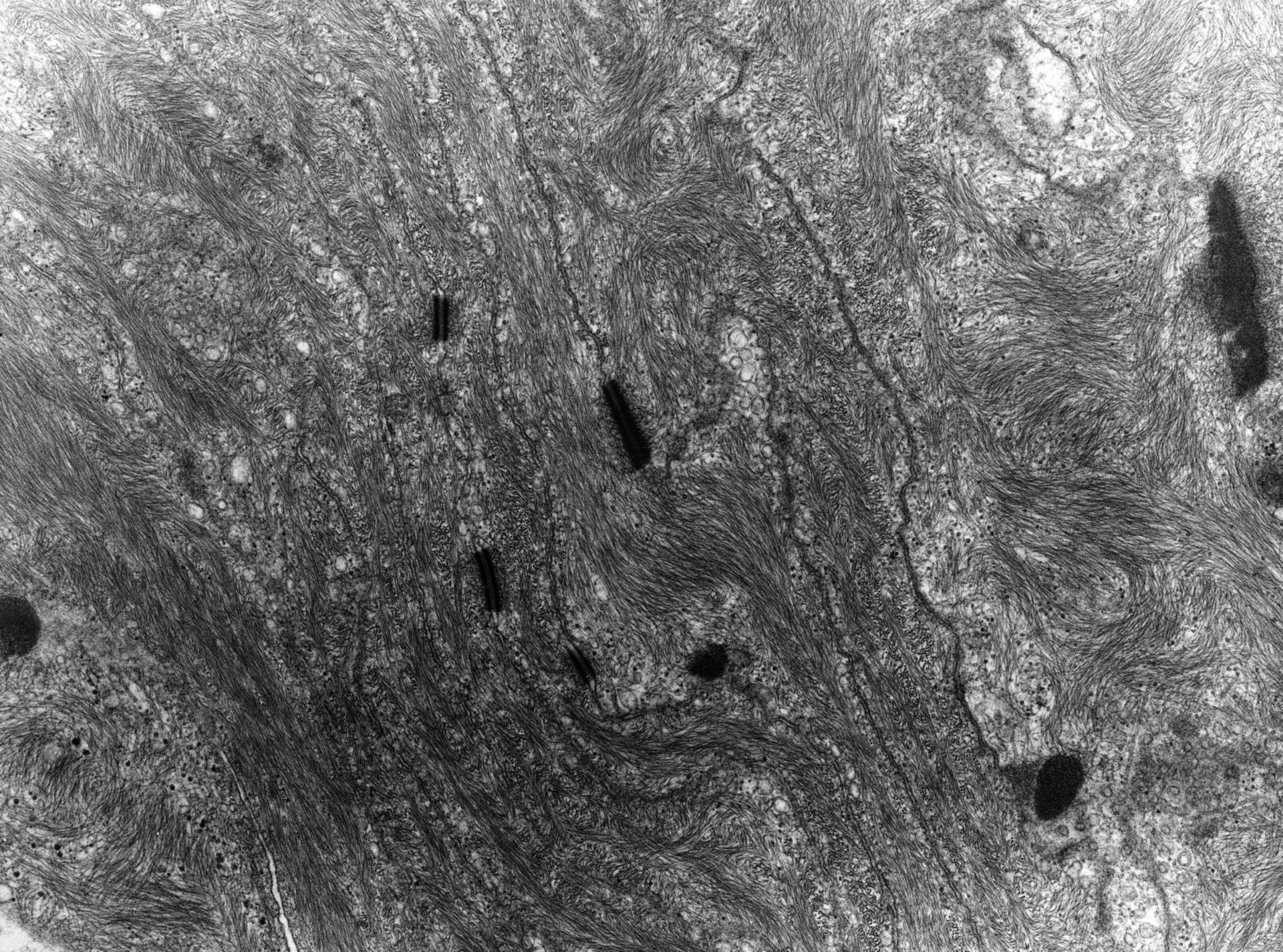 Rana catesbeiana (Plasma membrane) - CIL:9302