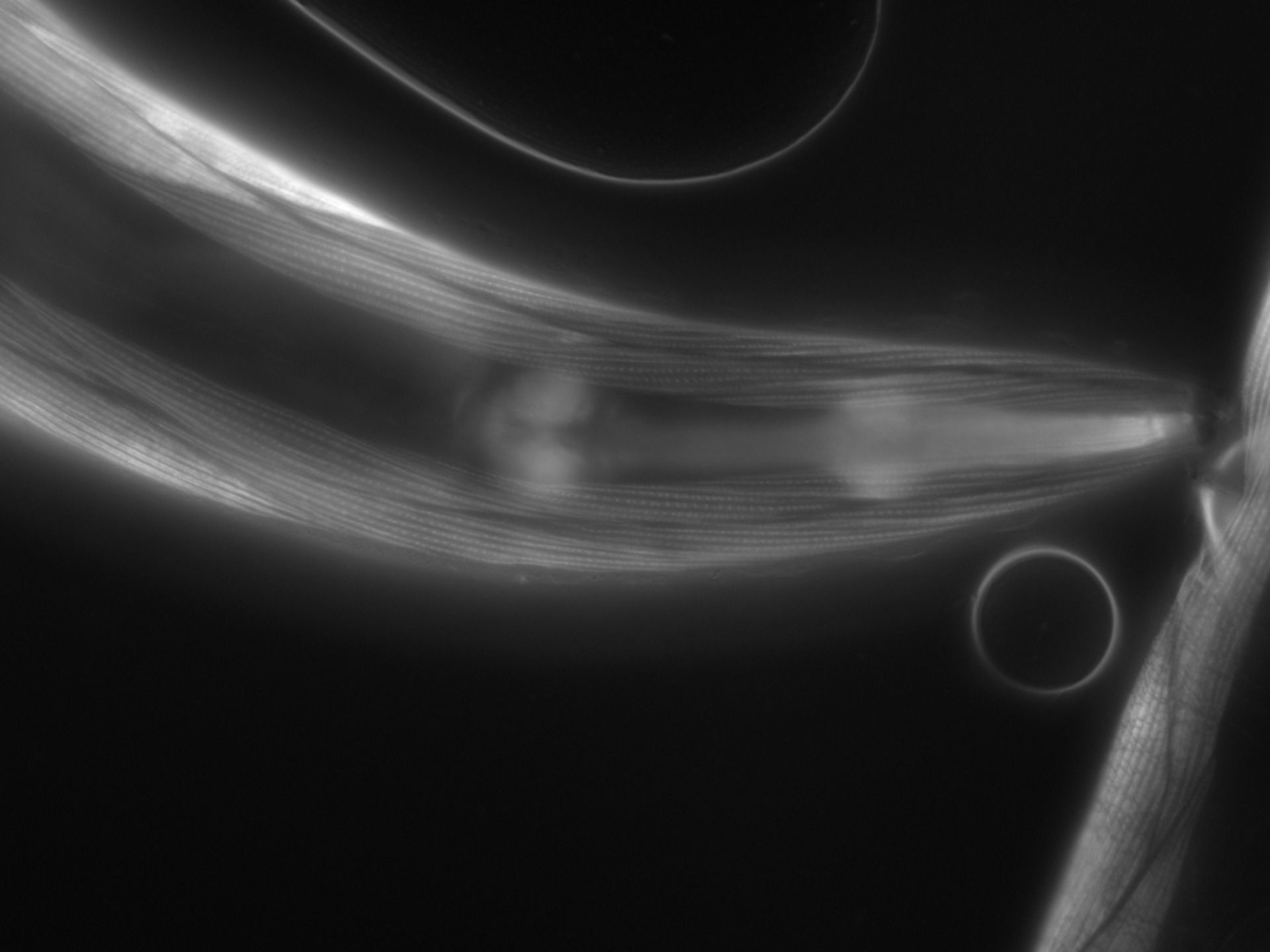 Caenorhabditis elegans (filamento di actina) - CIL:1073