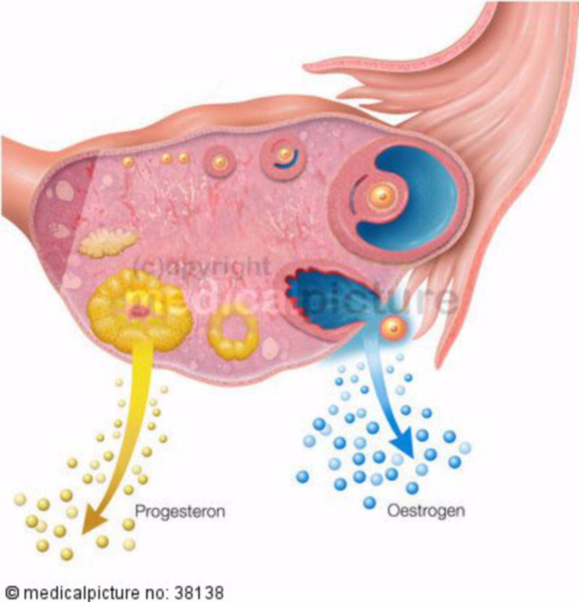 Female cycle, ovulation
