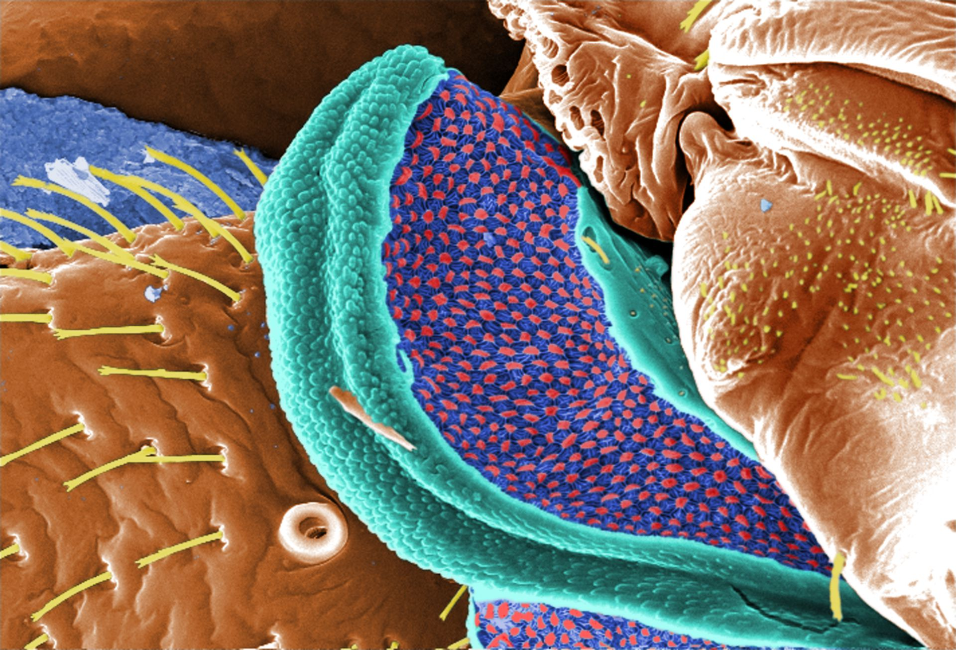 Cimex lectularius in digitally-colorized scanning electron micrograph