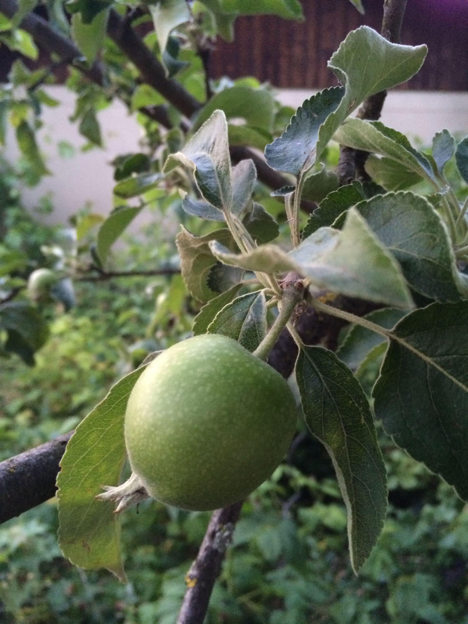 Manzana - manzano