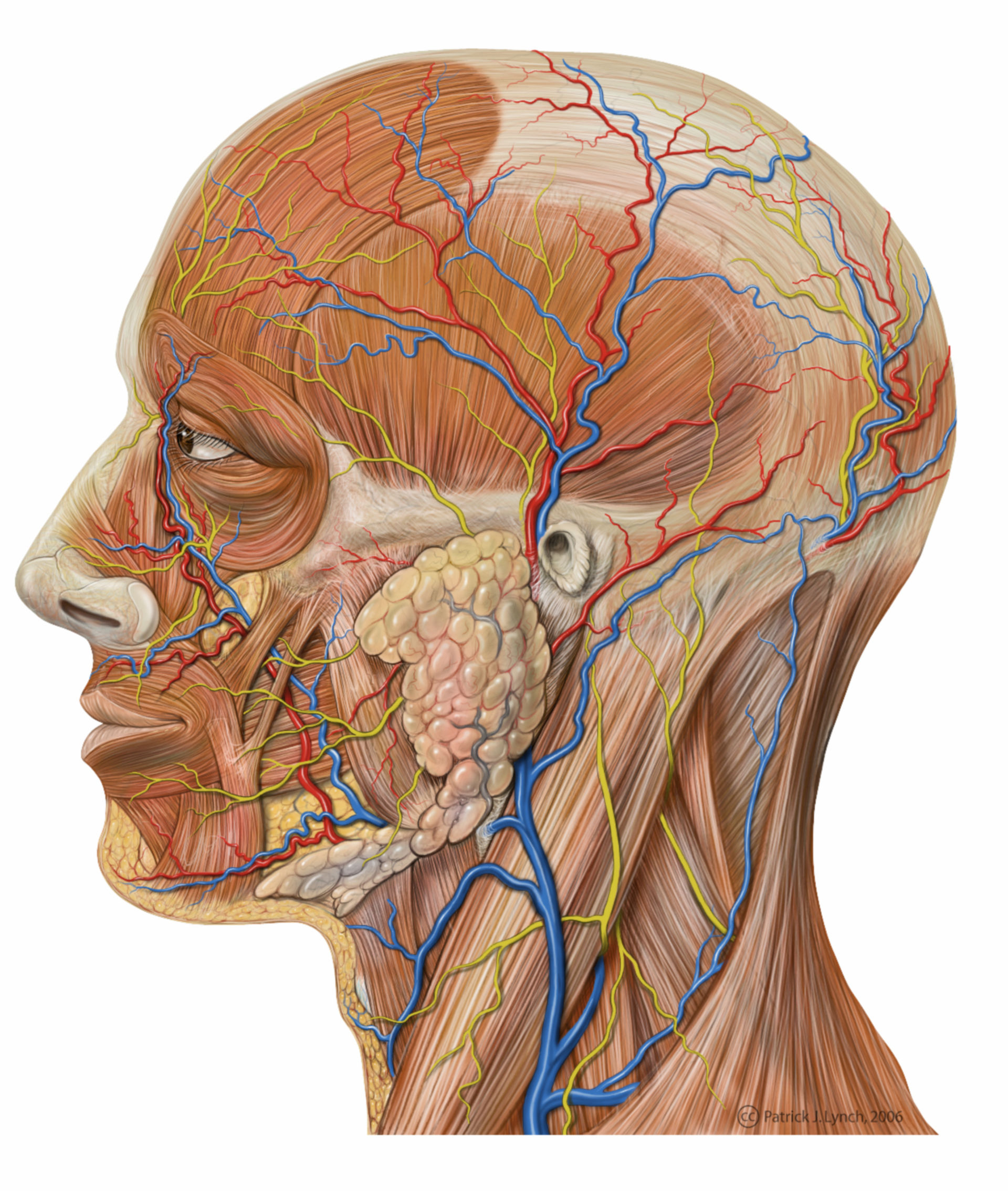 Anatomie des Kopfes (Illustration, laterale Ansicht)