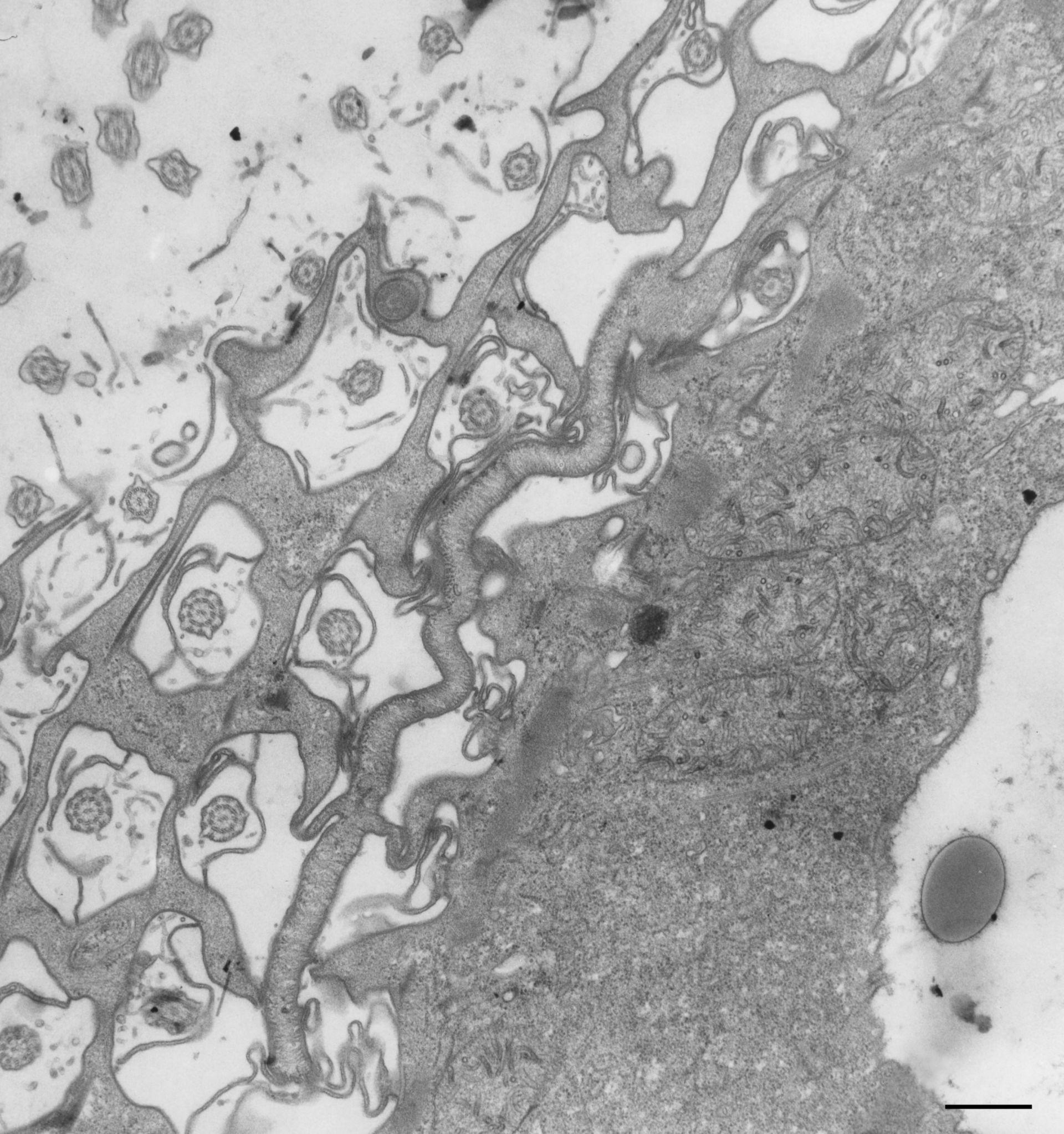 Paramecium multimicronucleatum (Cytoplasm) - CIL:13131