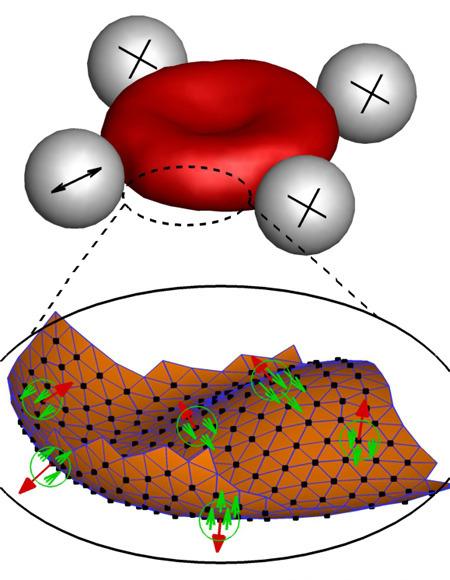 Drei winzige Kugeln halten die roten Blutkörperchen fest, während mit Hilfe einer vierten Kugel die Bewegungen der Zellmembran (Ausschnitt unten) gemessen werden. © Forschungszentrum Jülich
