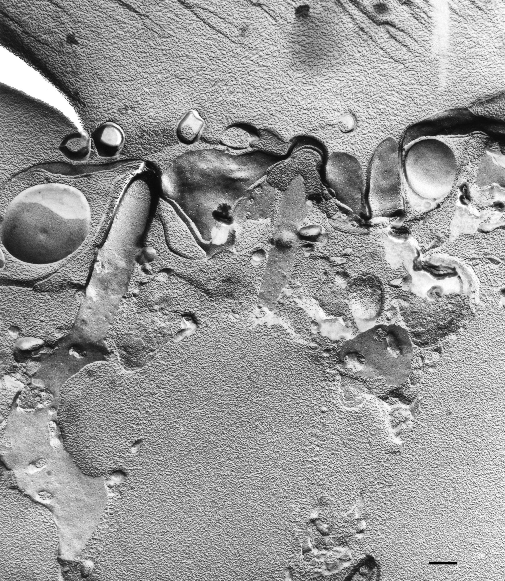 Paramecium multimicronucleatum (Tricocisti) - CIL:36670