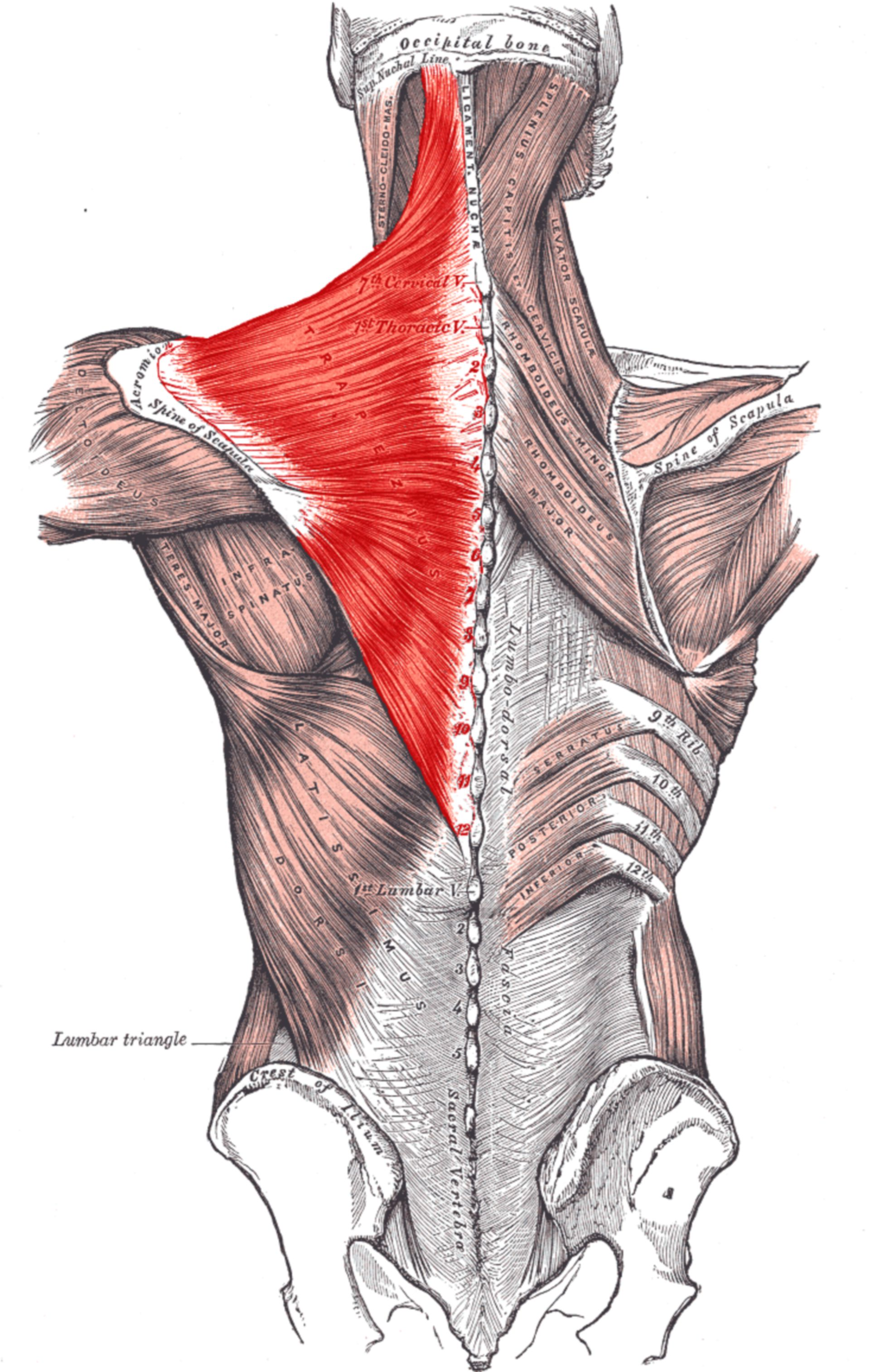 Musculus trapezius (Illustration)