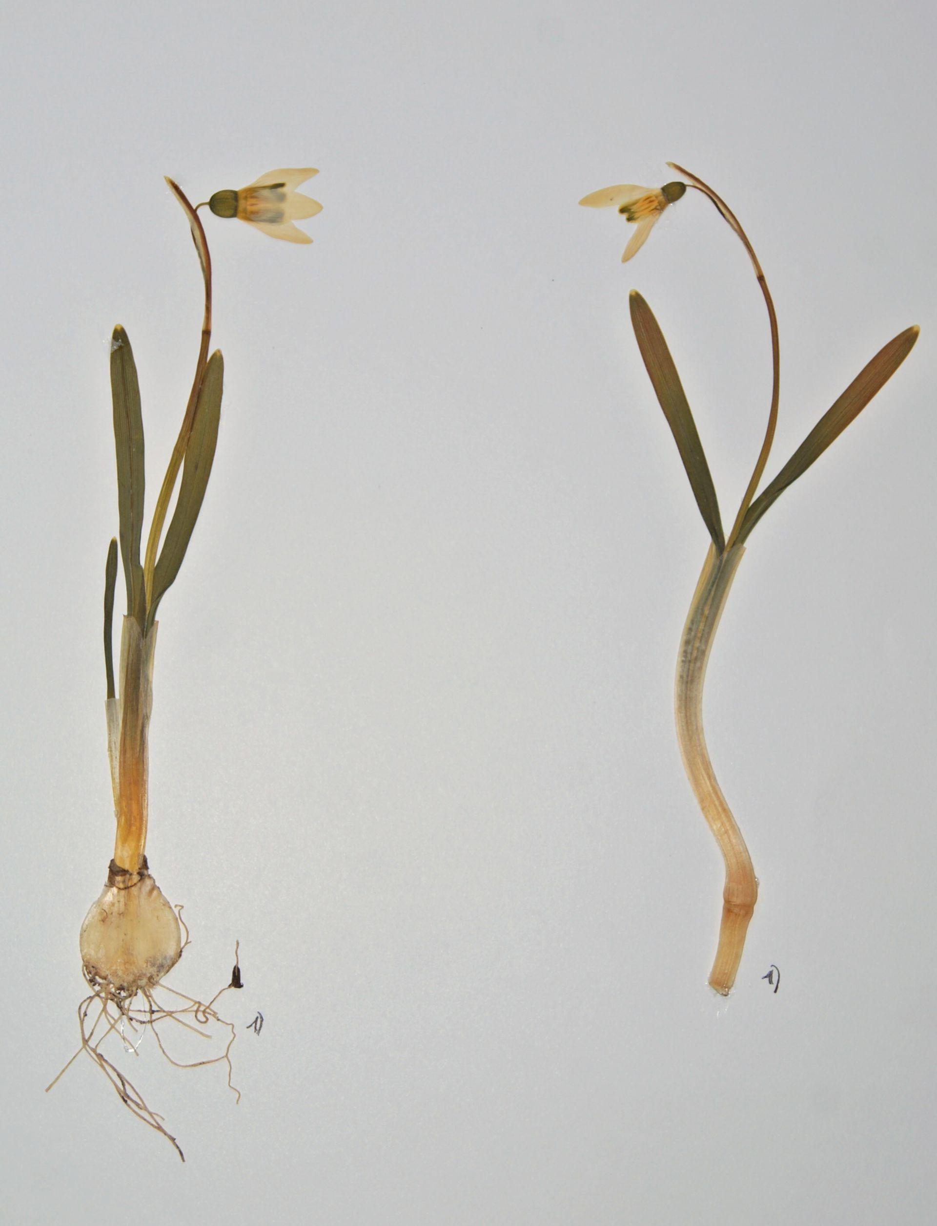 Galanthus nivalis - Herbarbeleg
