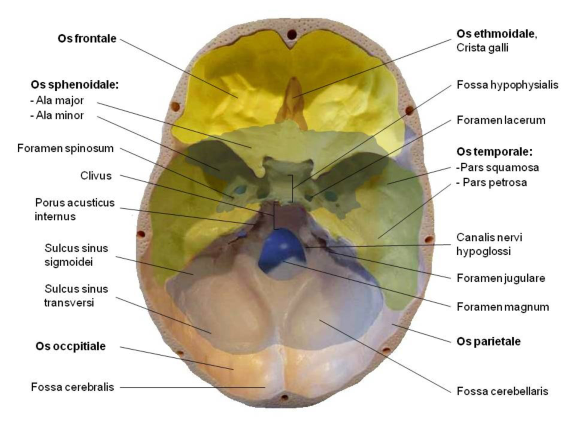 Schädel - Basis cranii interna - beschriftet