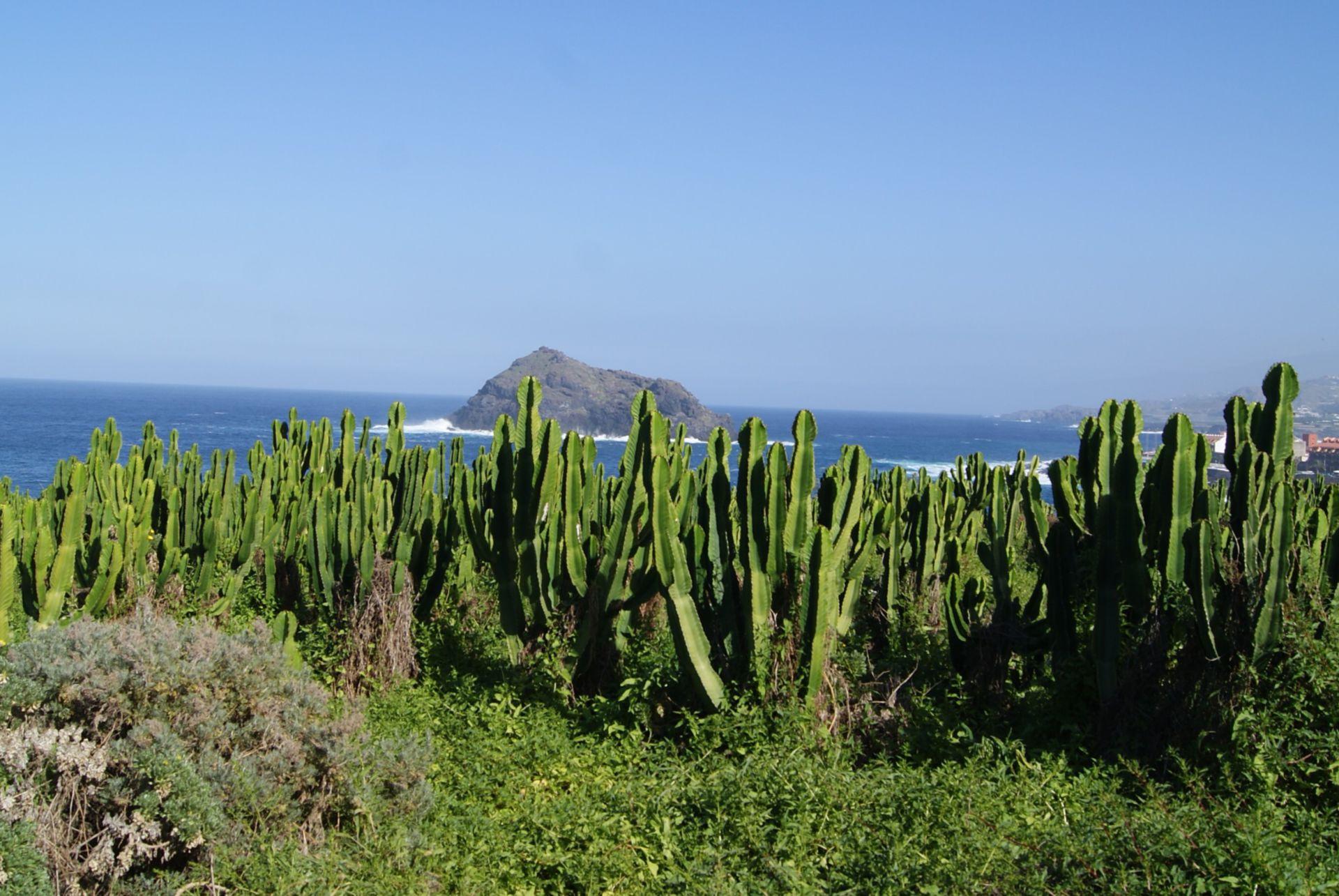 Euphorbia cf. canariensis
