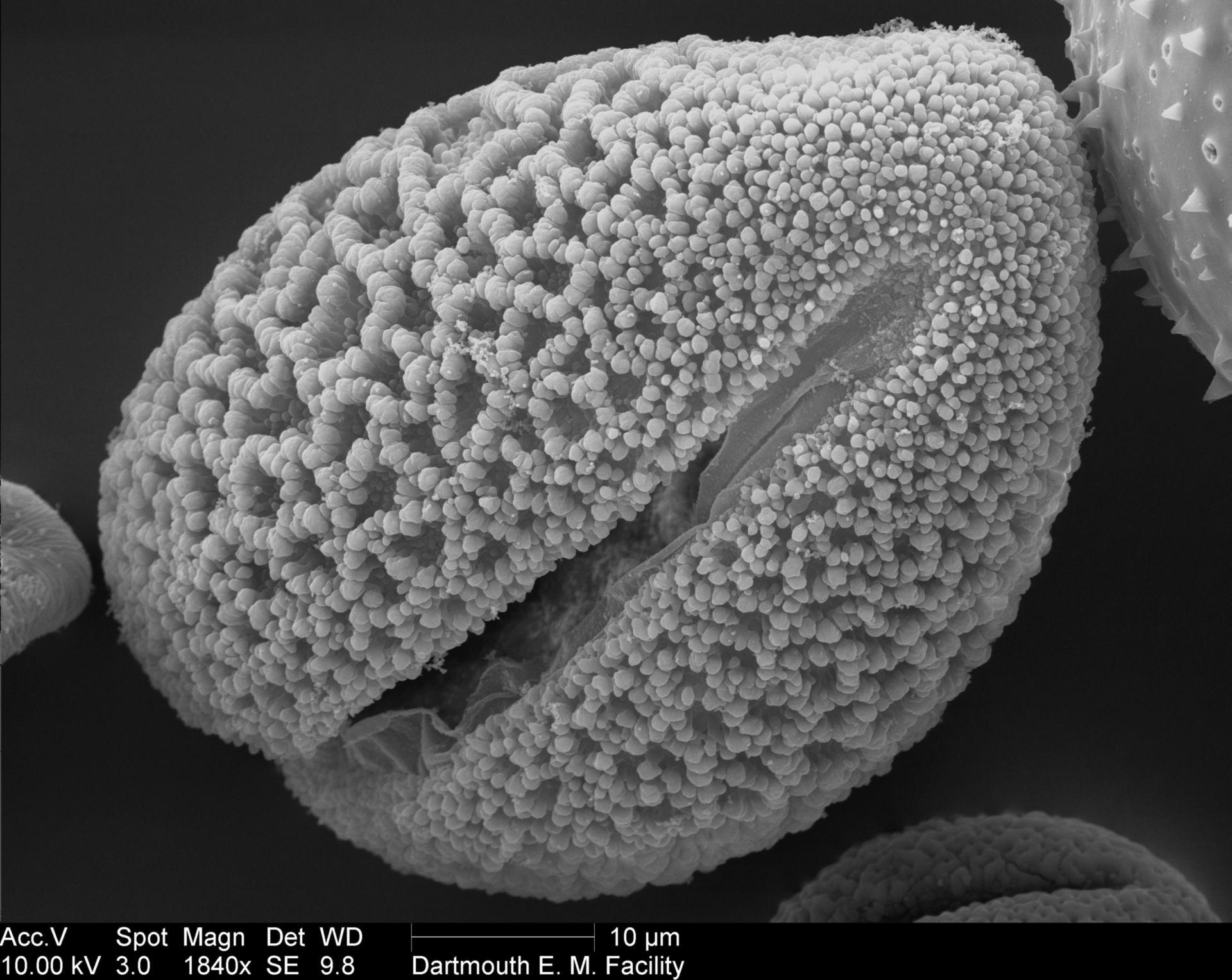 Lilium longiflorum (Pollen wall) - CIL:40332