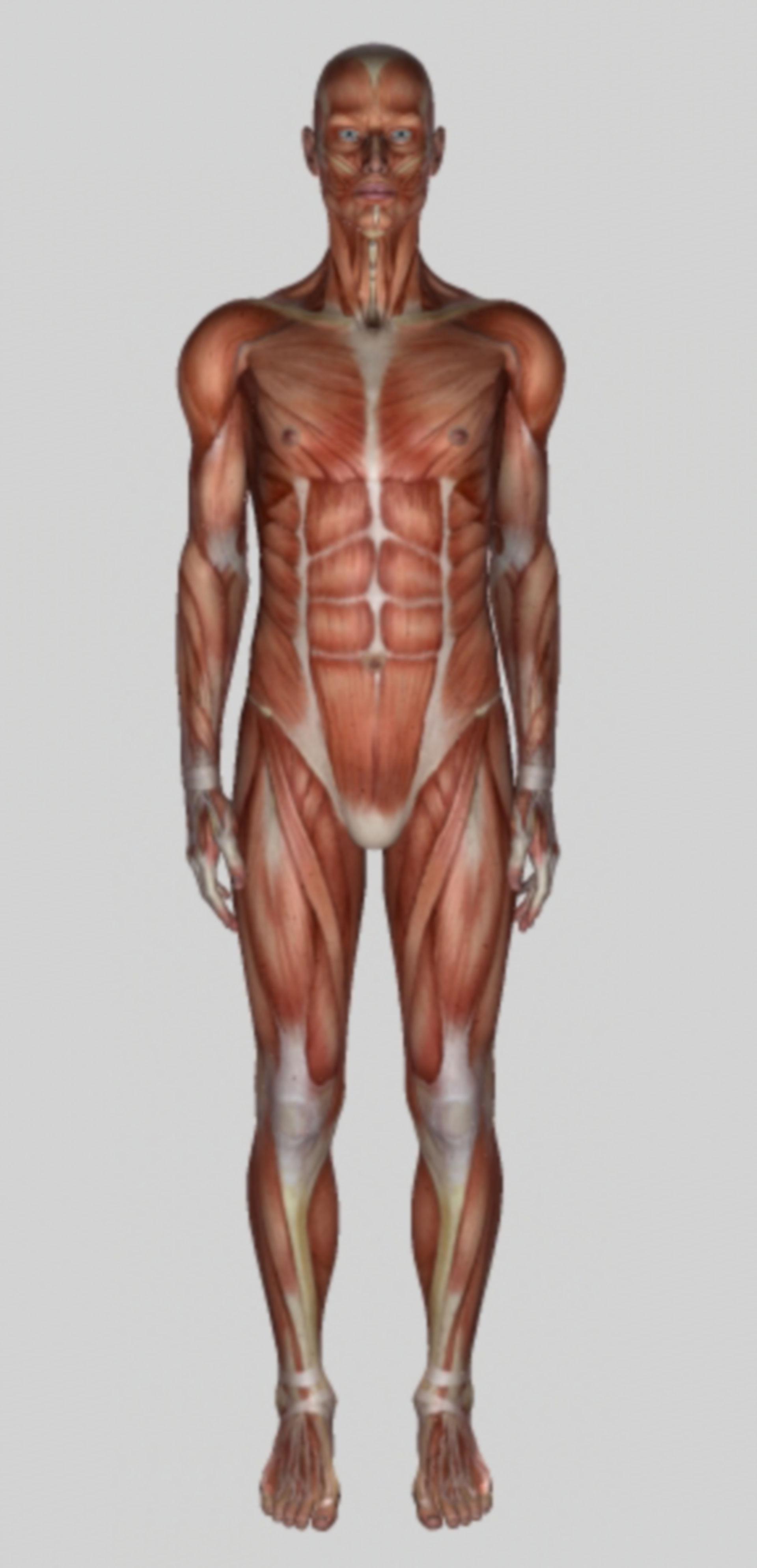 Muskulatur Frontalansicht