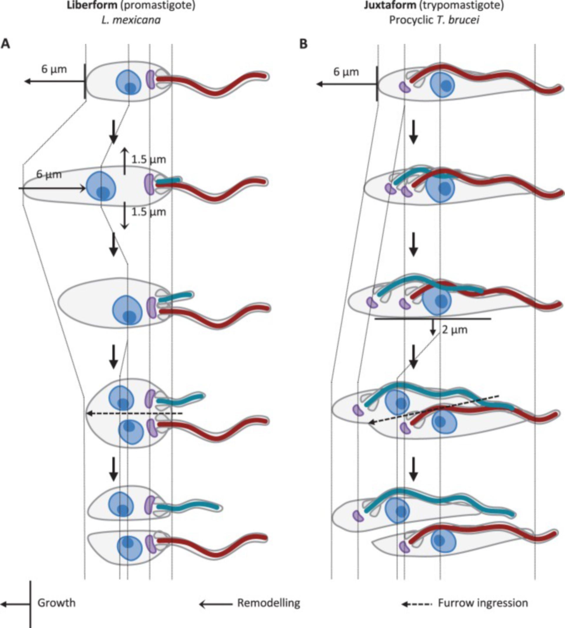 Morphogenese eines Promastigoten und eines Trypomastigoten