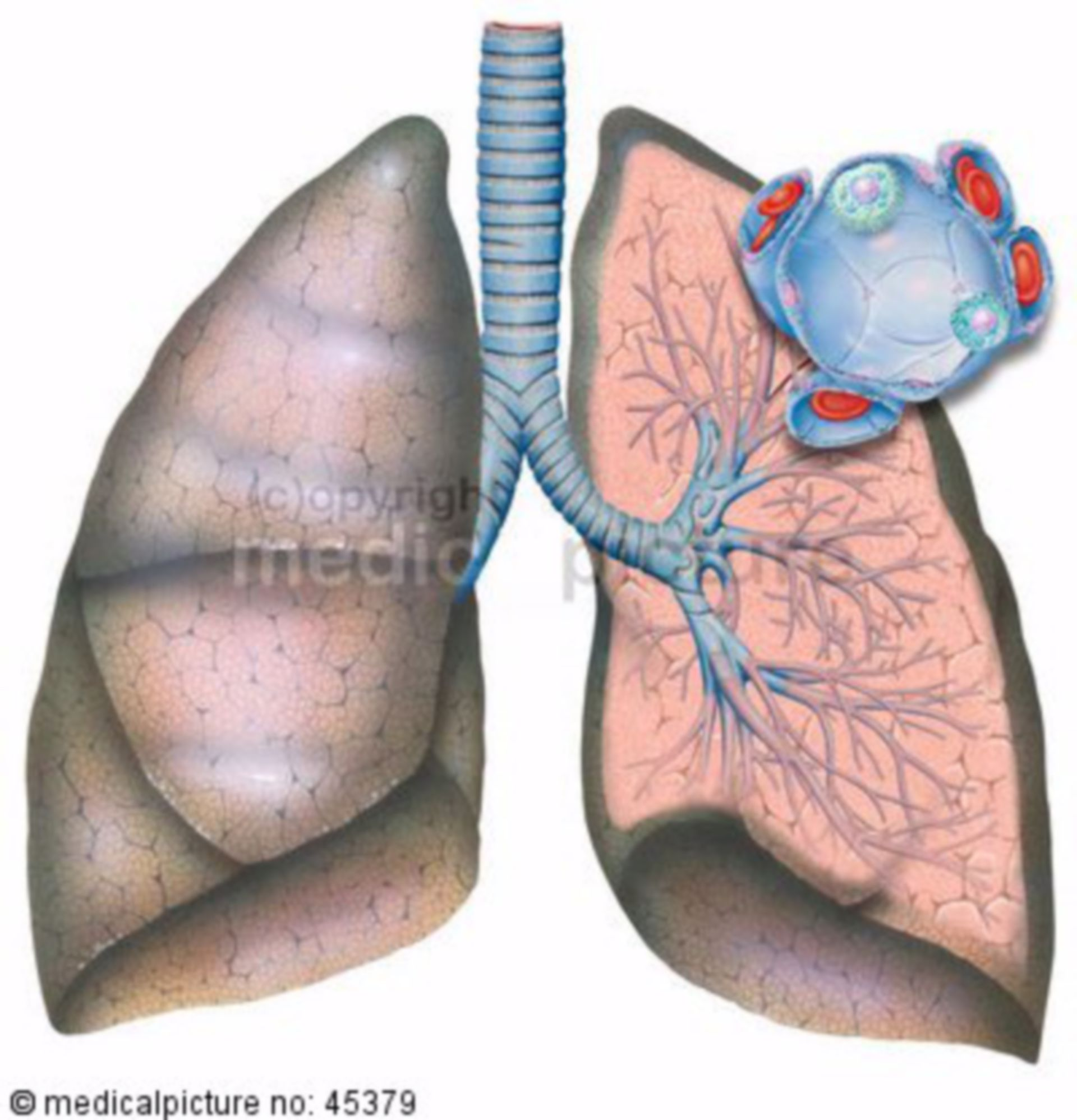 Anatomy of the lung
