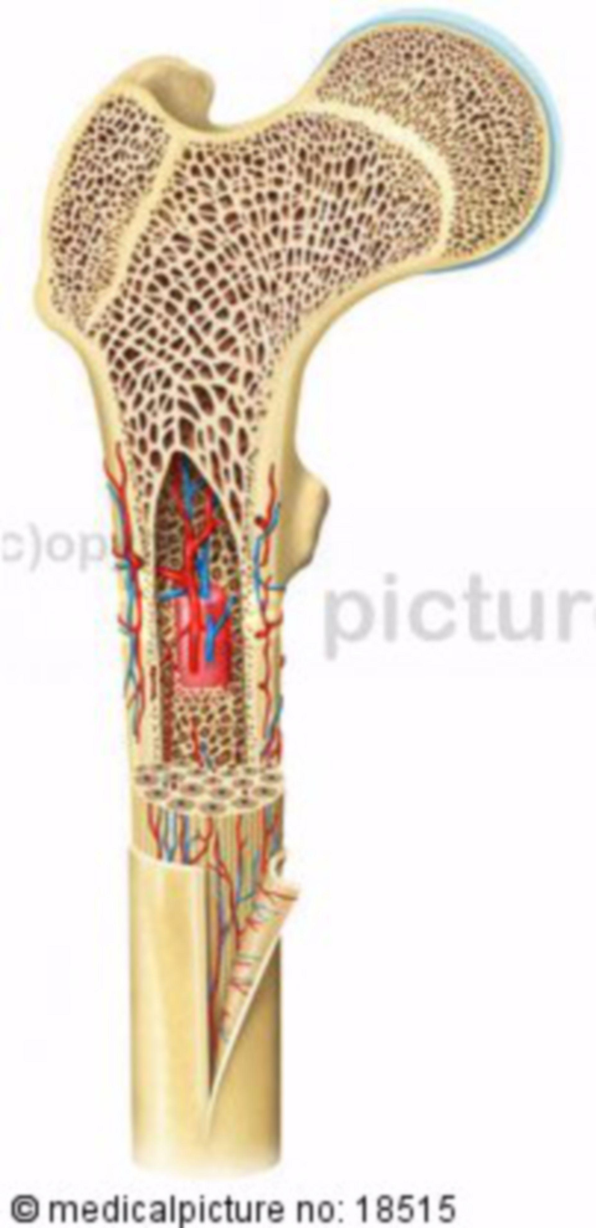 Struttura di un osso lamellare