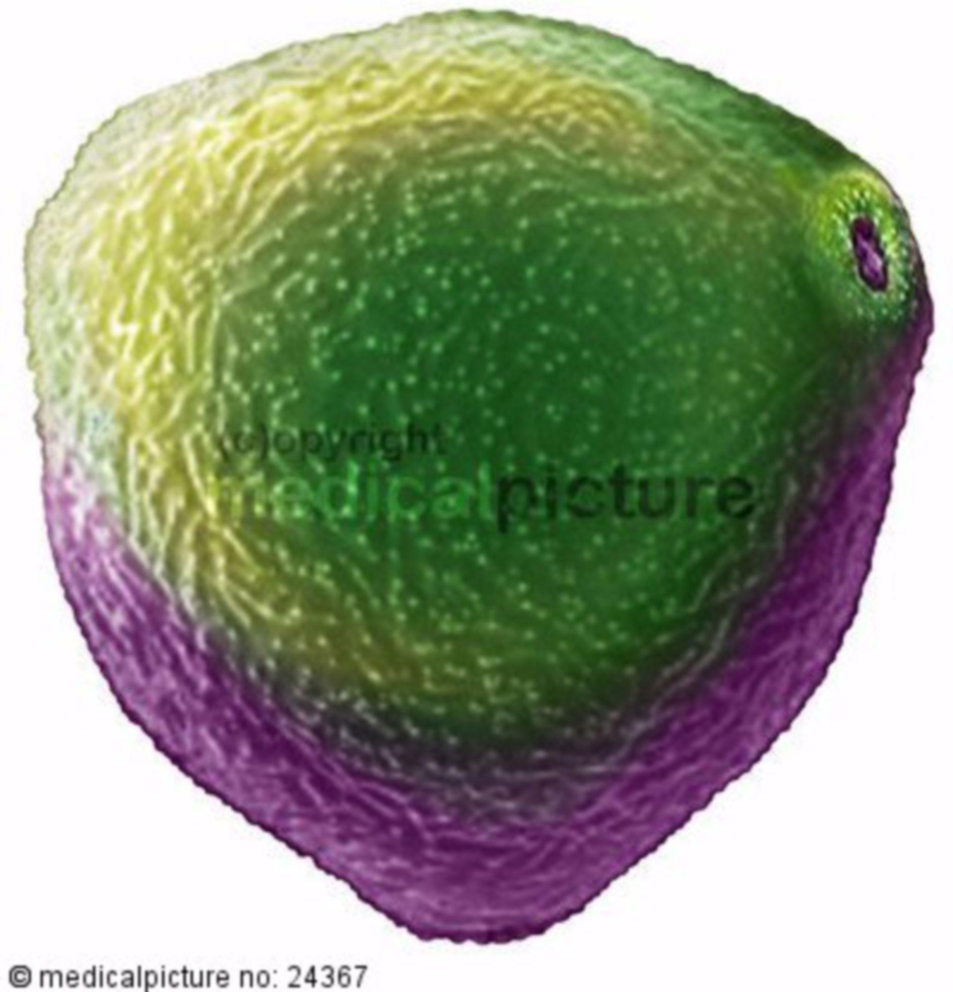 Hasel Polle, pollen of hazel