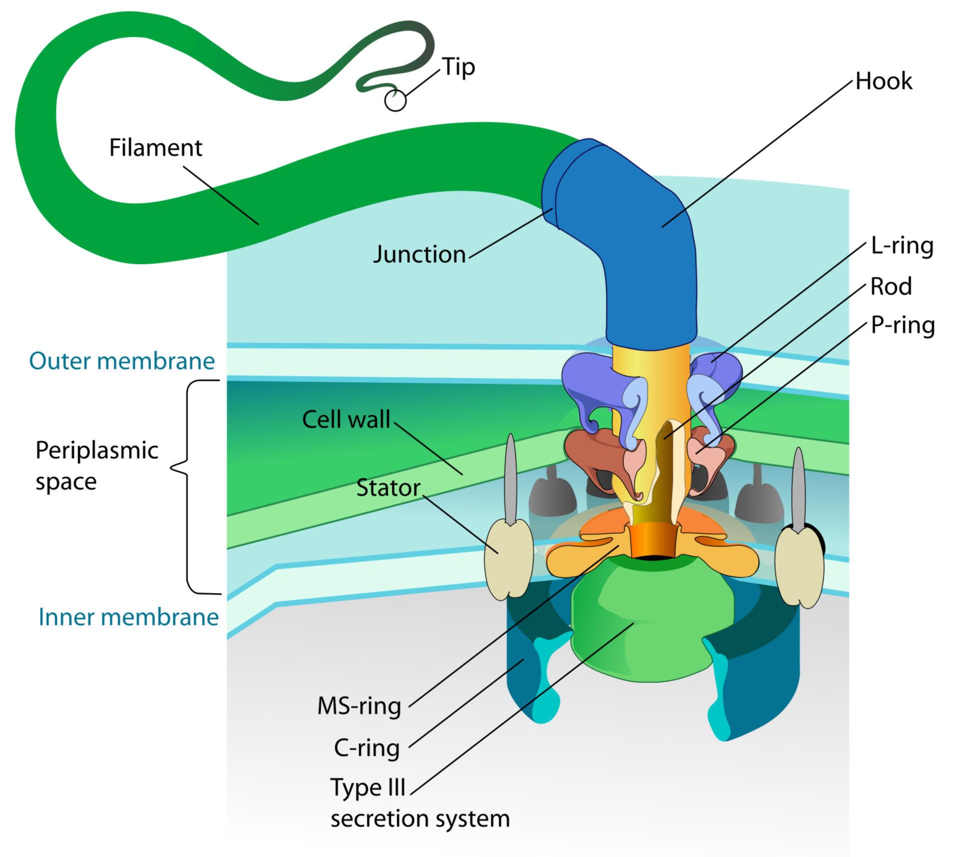 Complesso motore di un flagello di un batterio Gram-negativo
