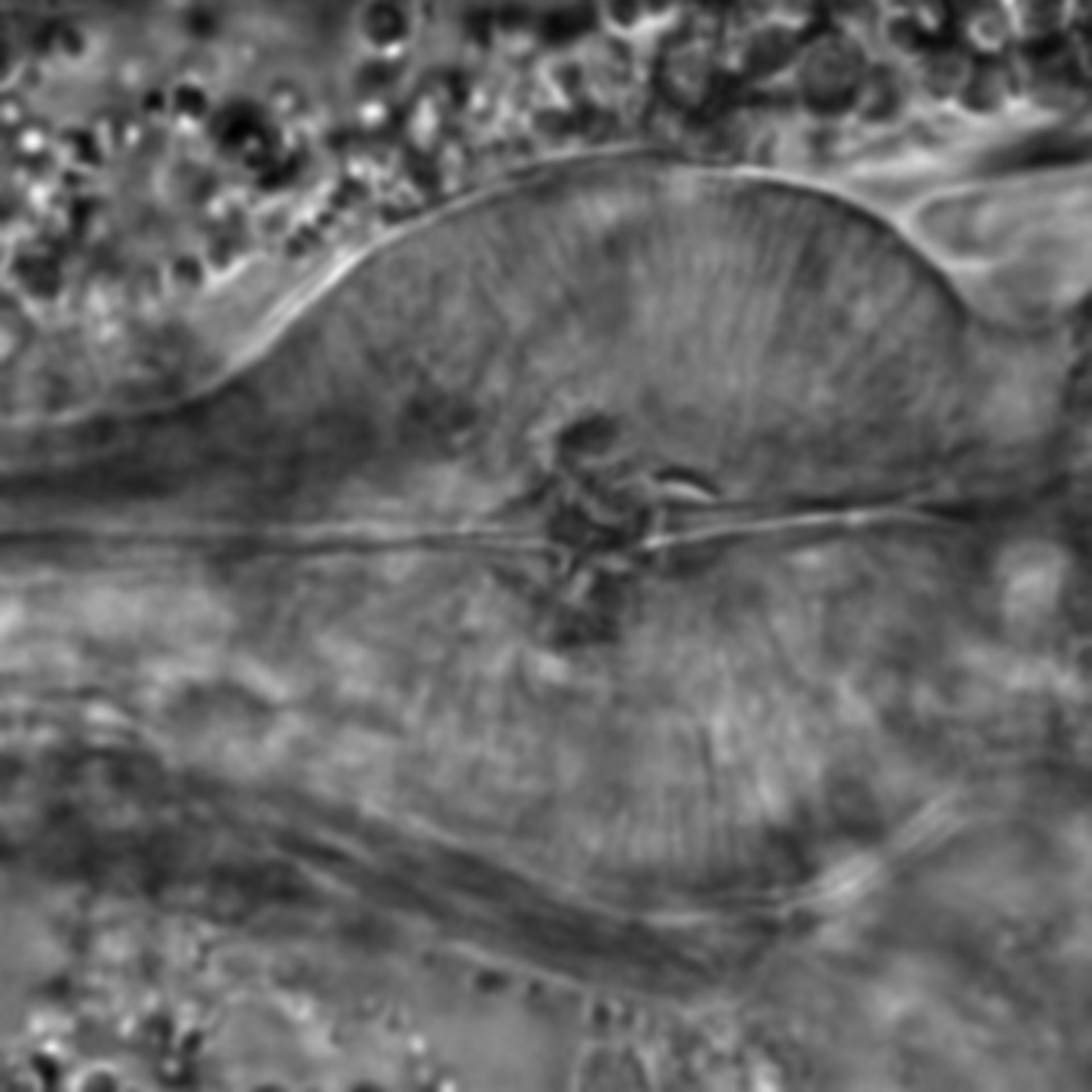 Caenorhabditis elegans - CIL:1746