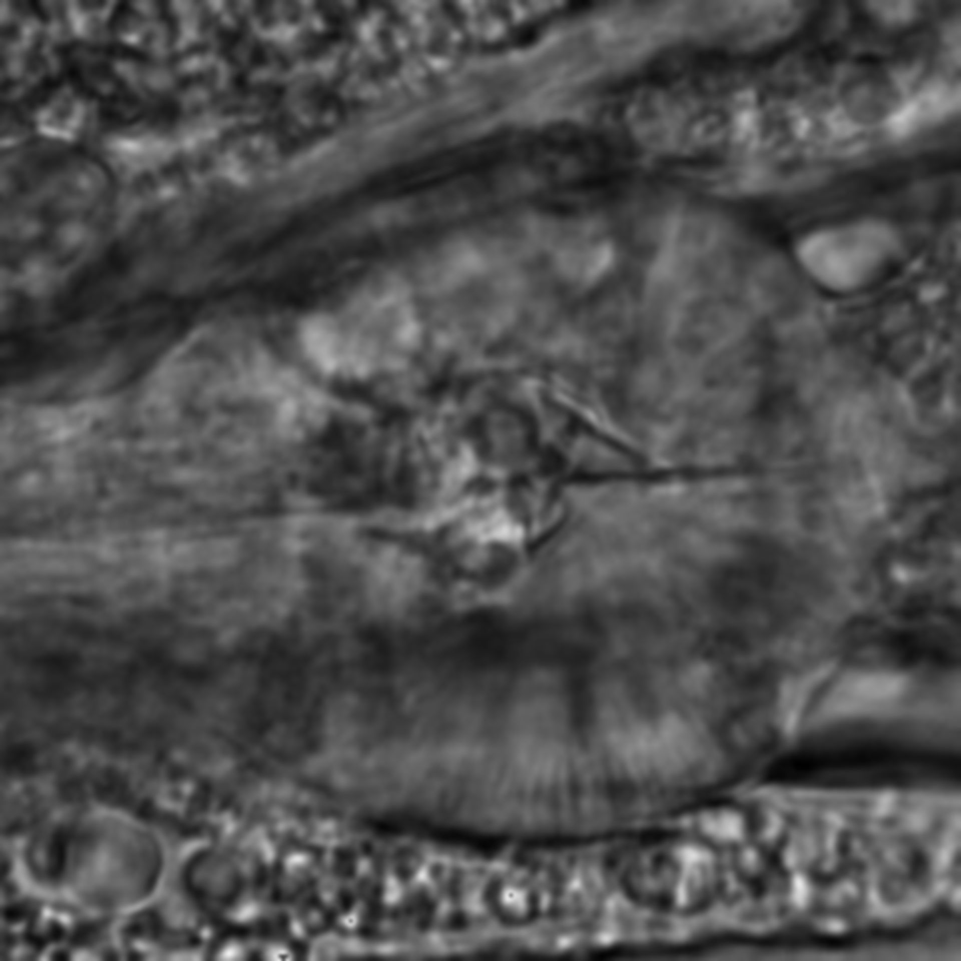 Caenorhabditis elegans - CIL:1947