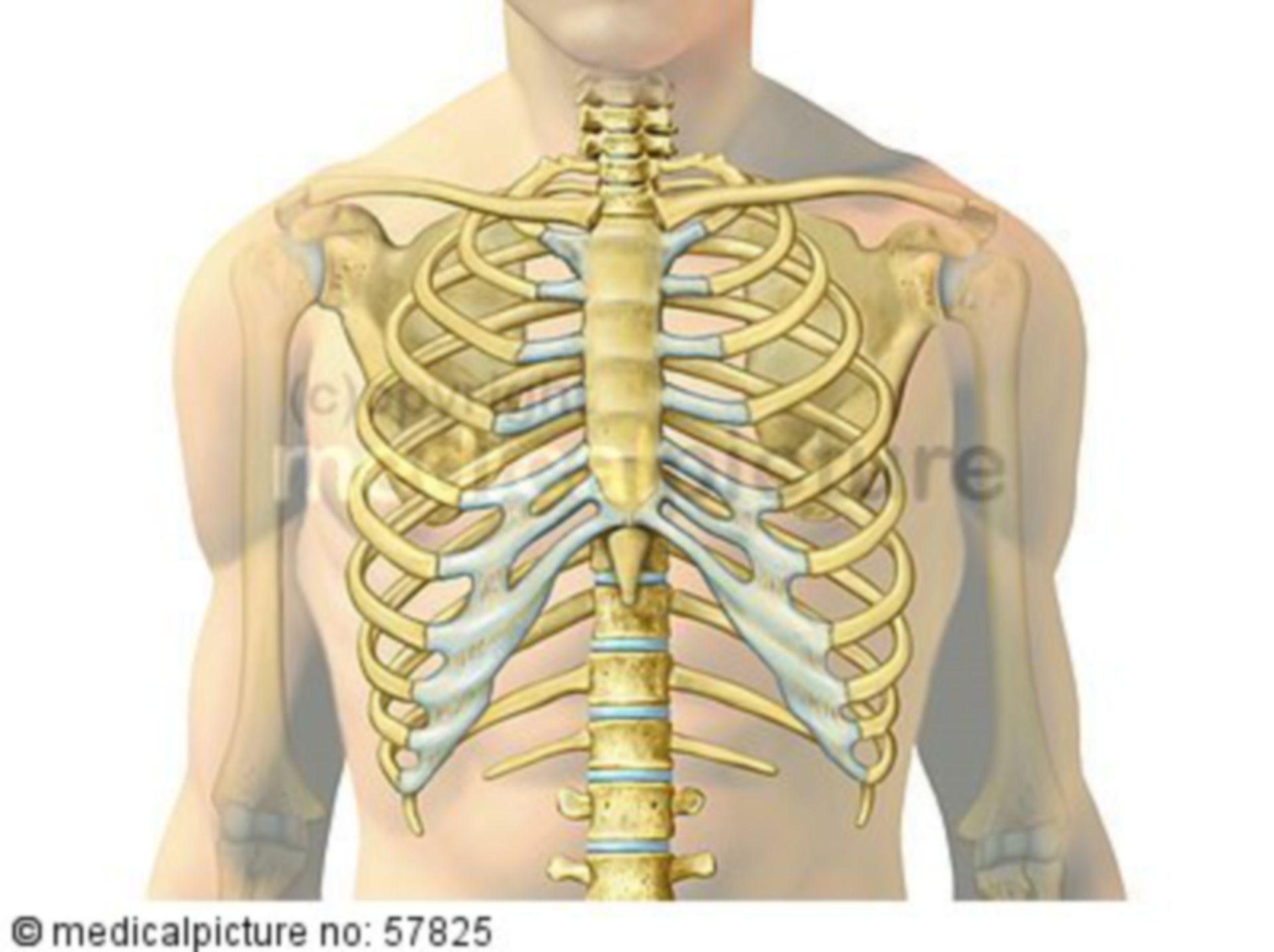 Anatomische Illustrationen - Brustkorb (Projektiert auf menschlichen Körper)