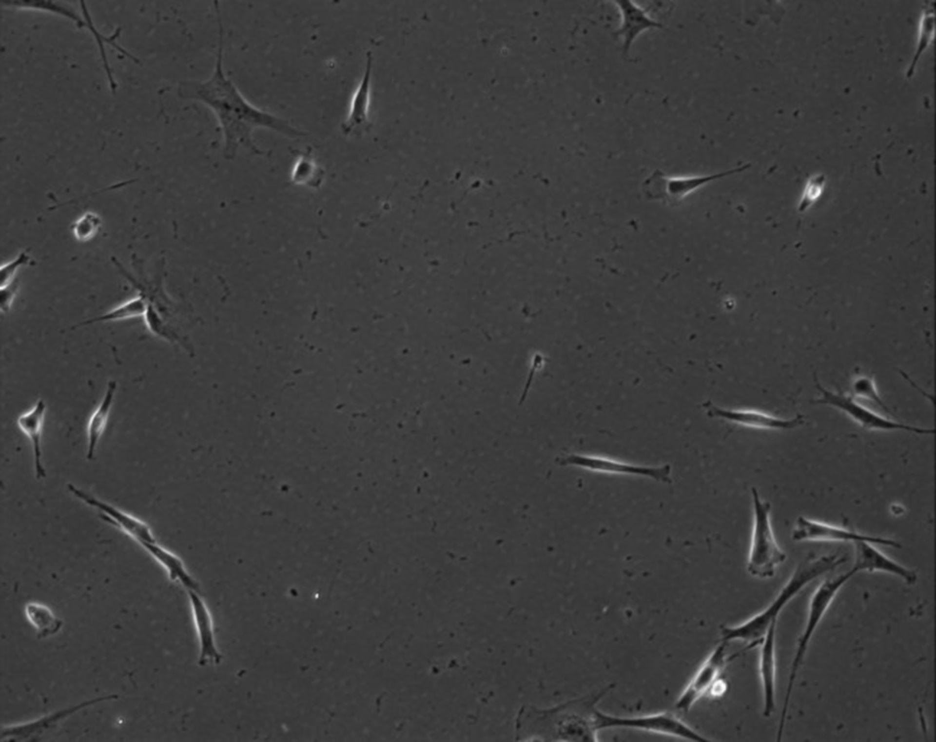 Mus musculus (Extracellular matrix part) - CIL:7903