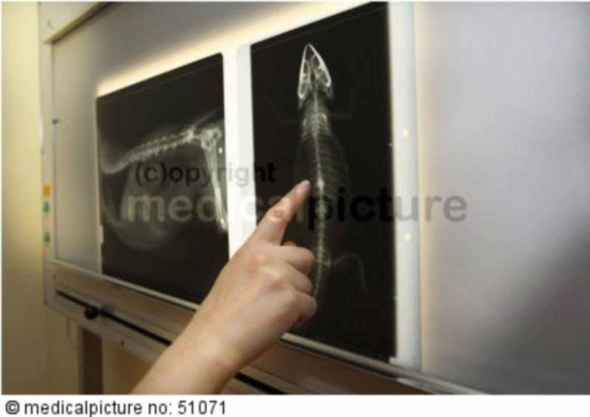 Tierarztpraxis, Röntgen, Echse