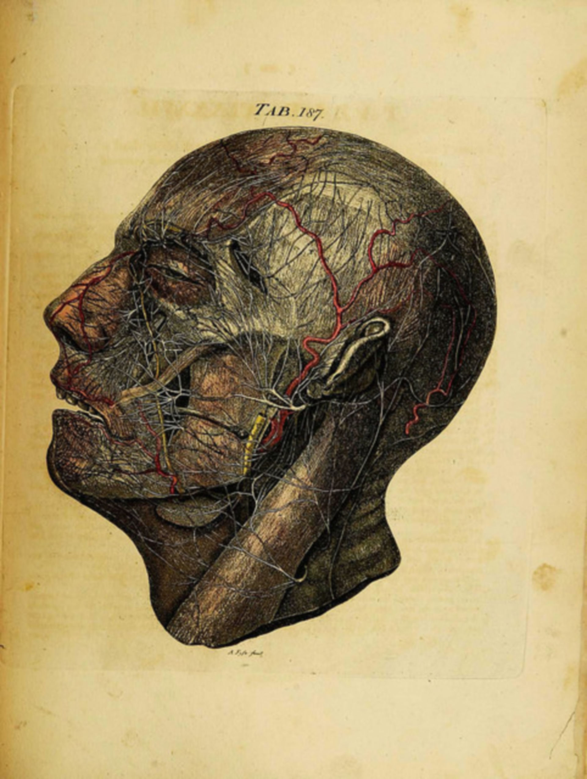 Gefäße und Innervation des Kopfes, seitlich
