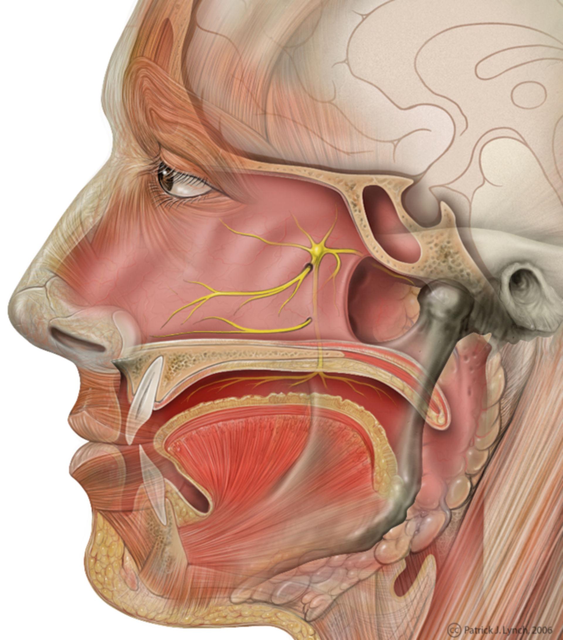 Testa: decorso del nervo grande petroso