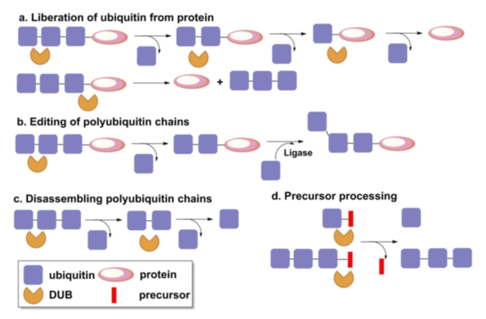 Deubiquitinating Enzyme Inhibitor Screening