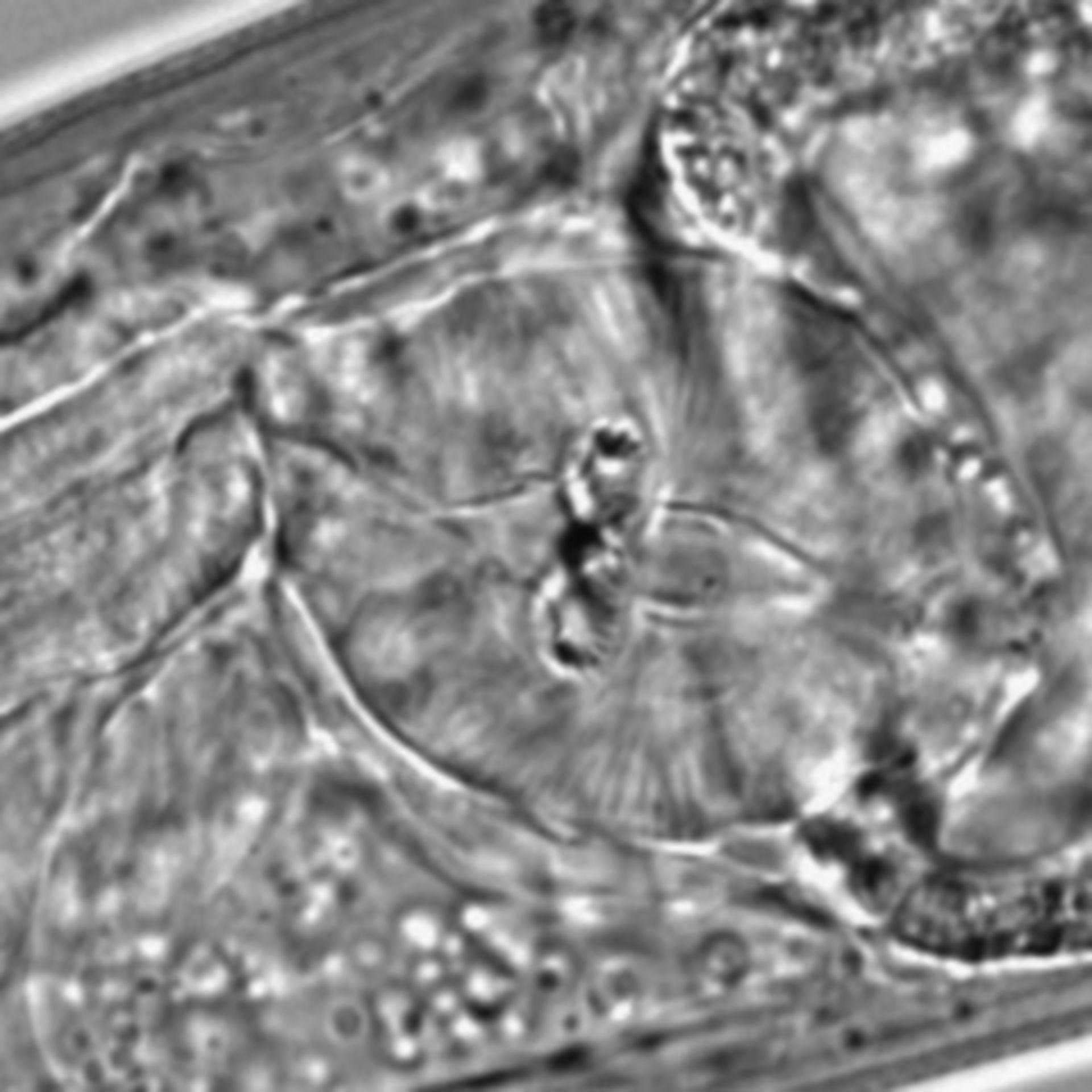 Caenorhabditis elegans - CIL:1628